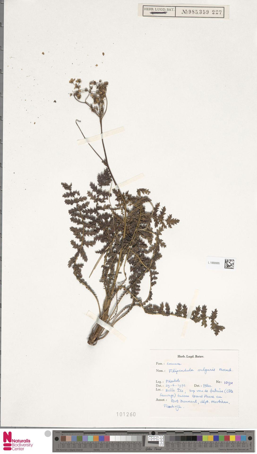 L.1888995 | Filipendula vulgaris Moench