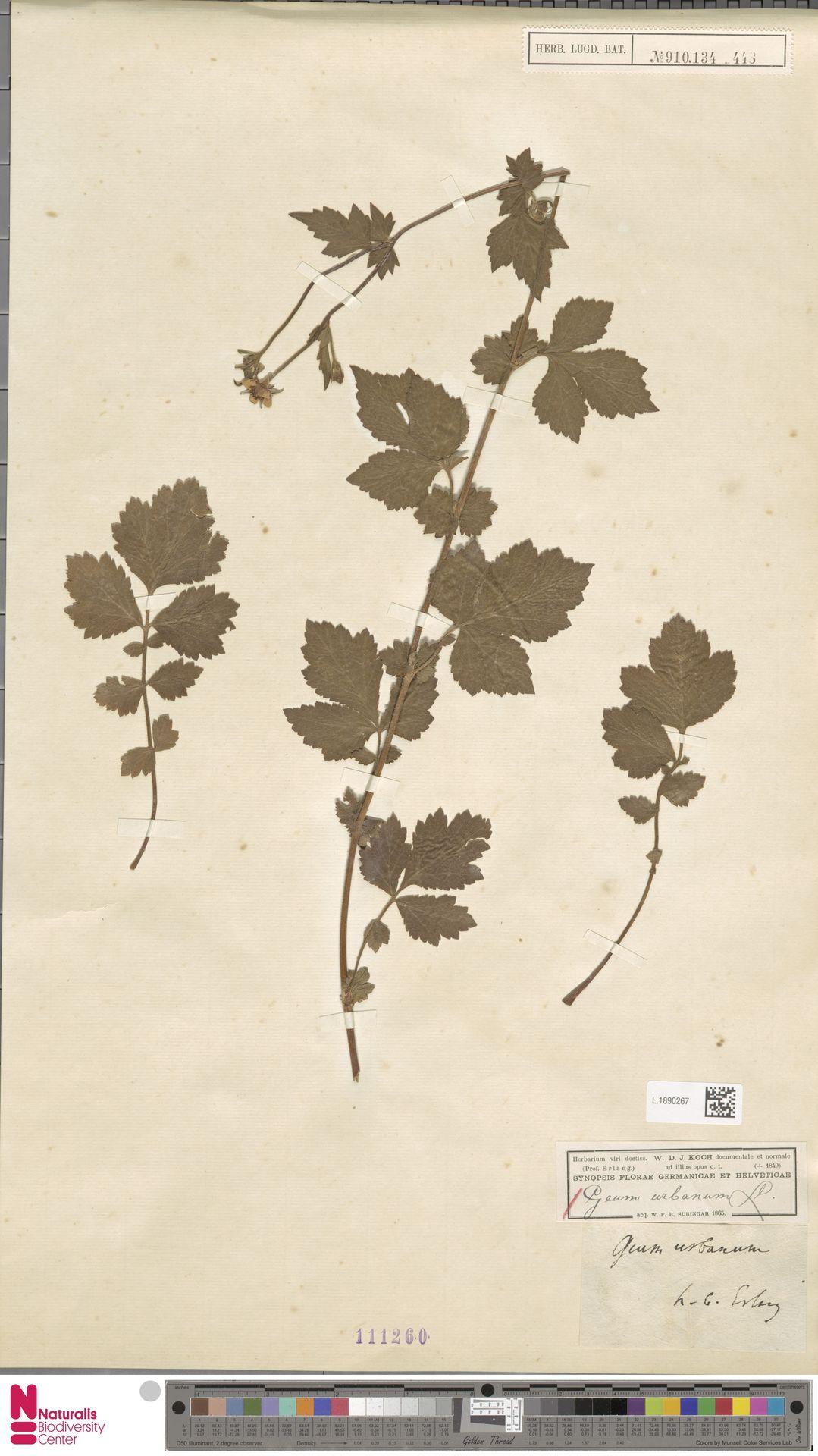 L.1890267 | Geum urbanum L.