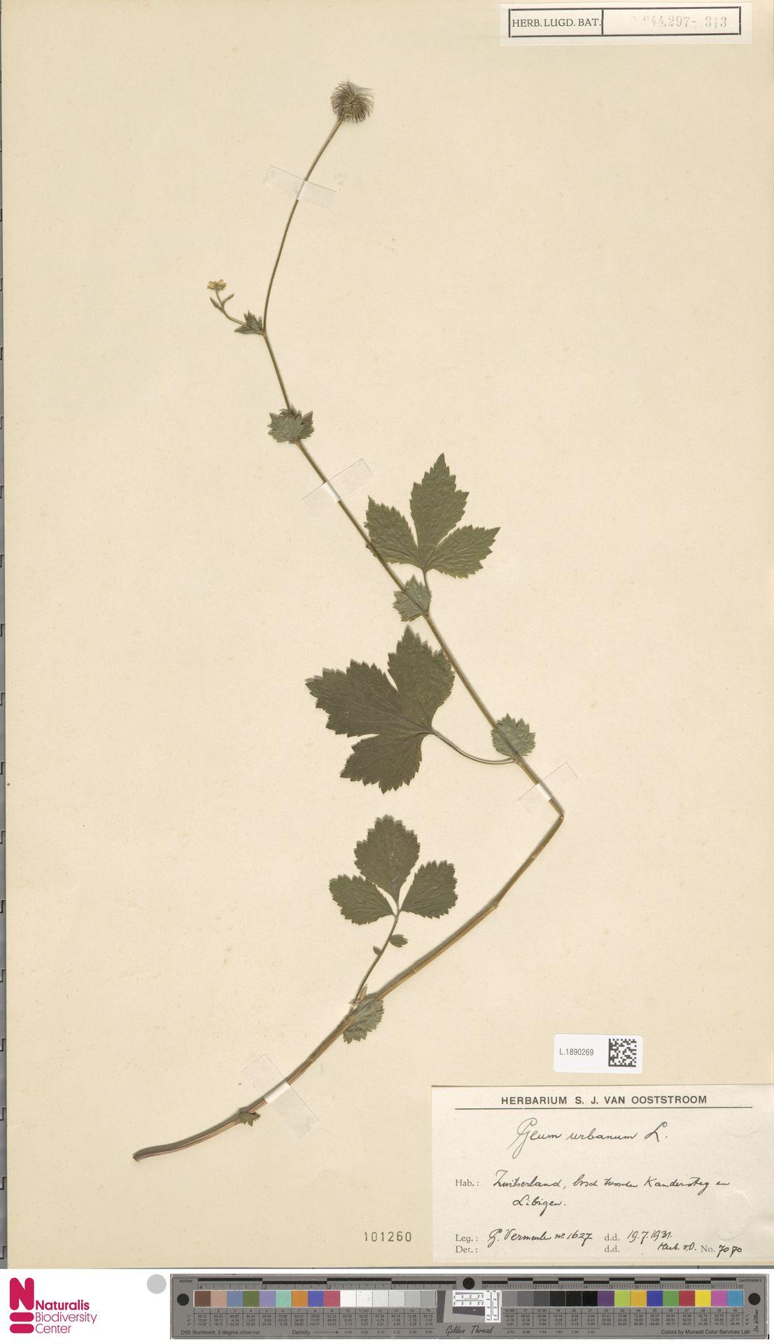 L.1890269 | Geum urbanum L.