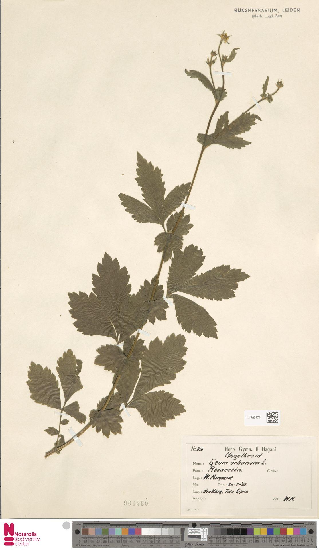 L.1890279 | Geum urbanum L.