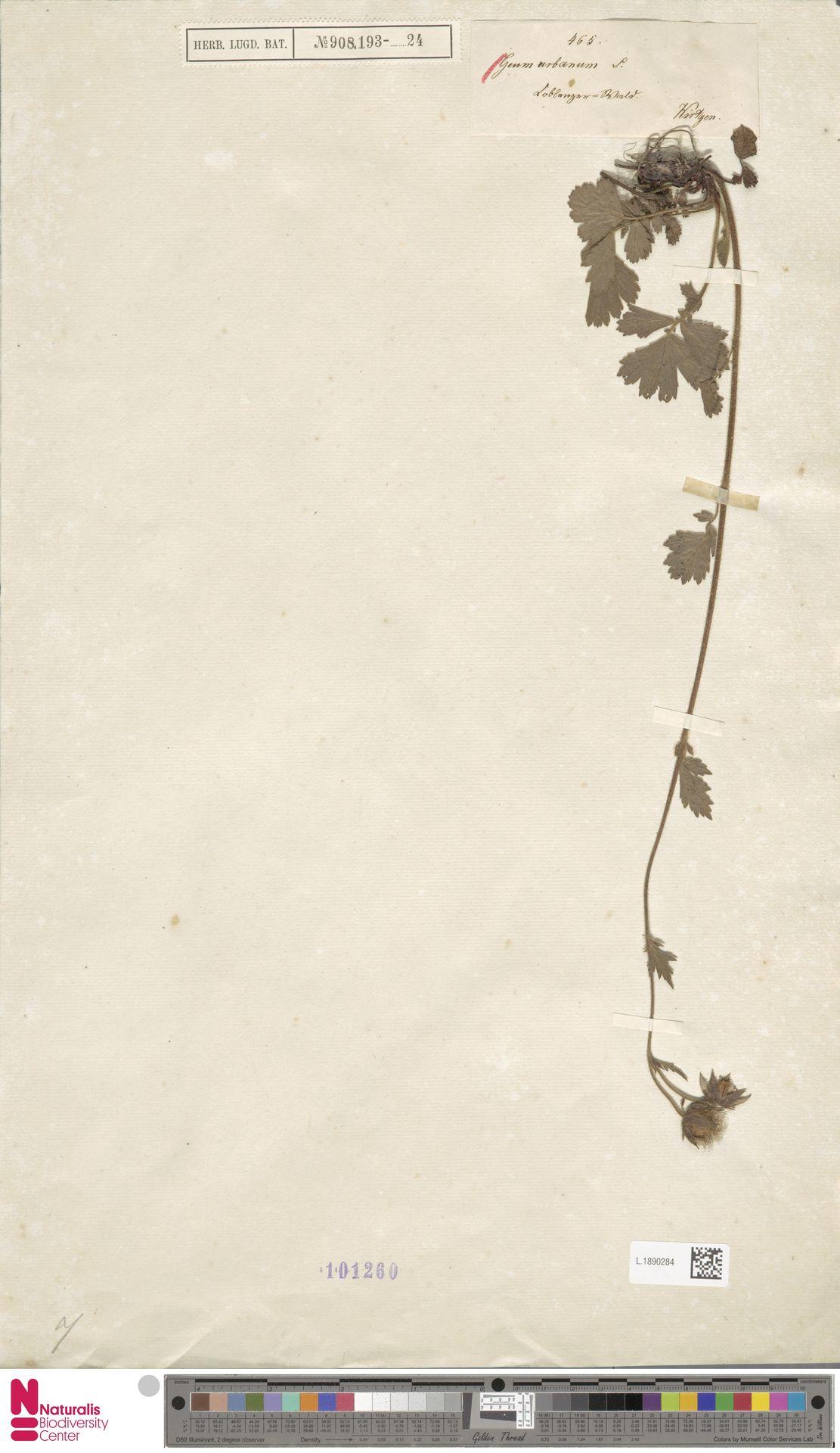 L.1890284 | Geum urbanum L.
