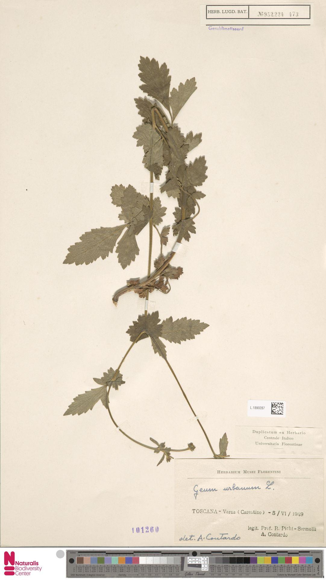 L.1890287 | Geum urbanum L.
