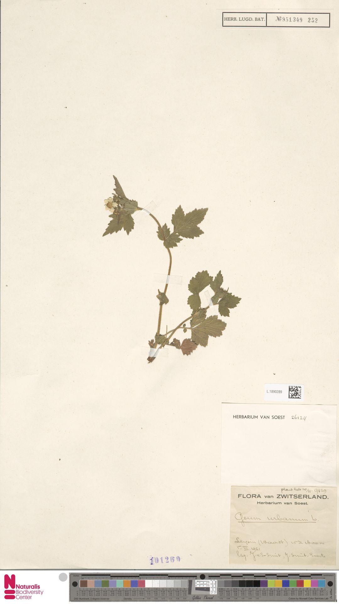 L.1890289 | Geum urbanum L.