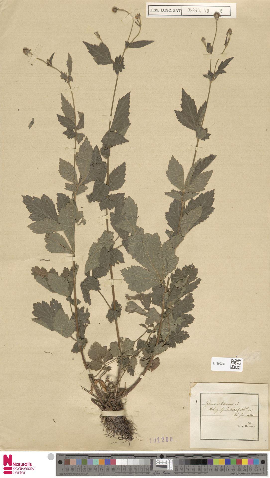 L.1890291 | Geum urbanum L.