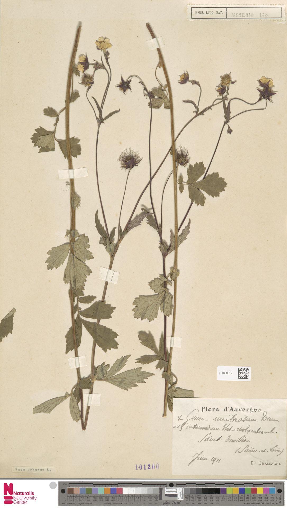 L.1890319 | Geum urbanum L.