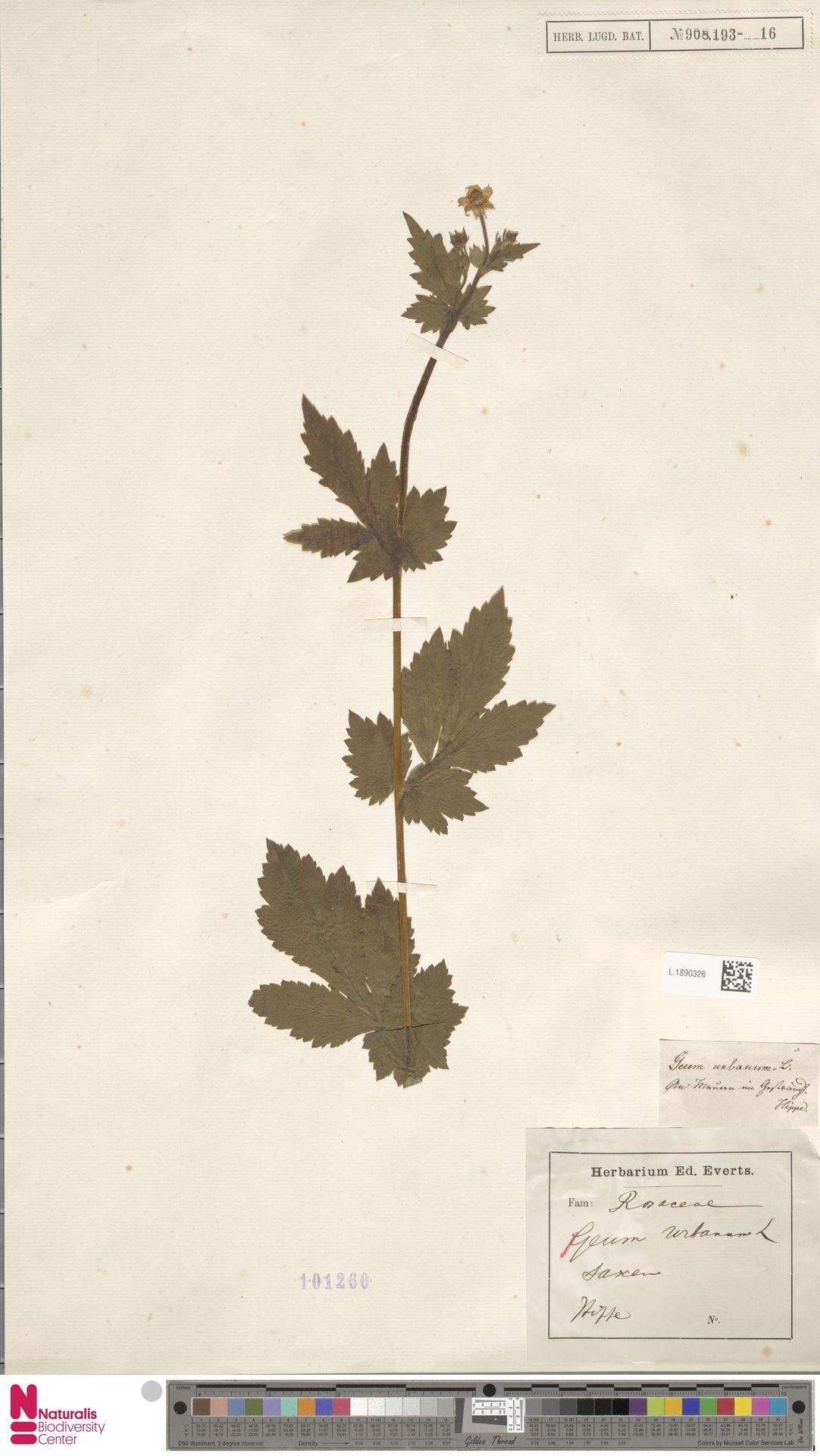L.1890326 | Geum urbanum L.