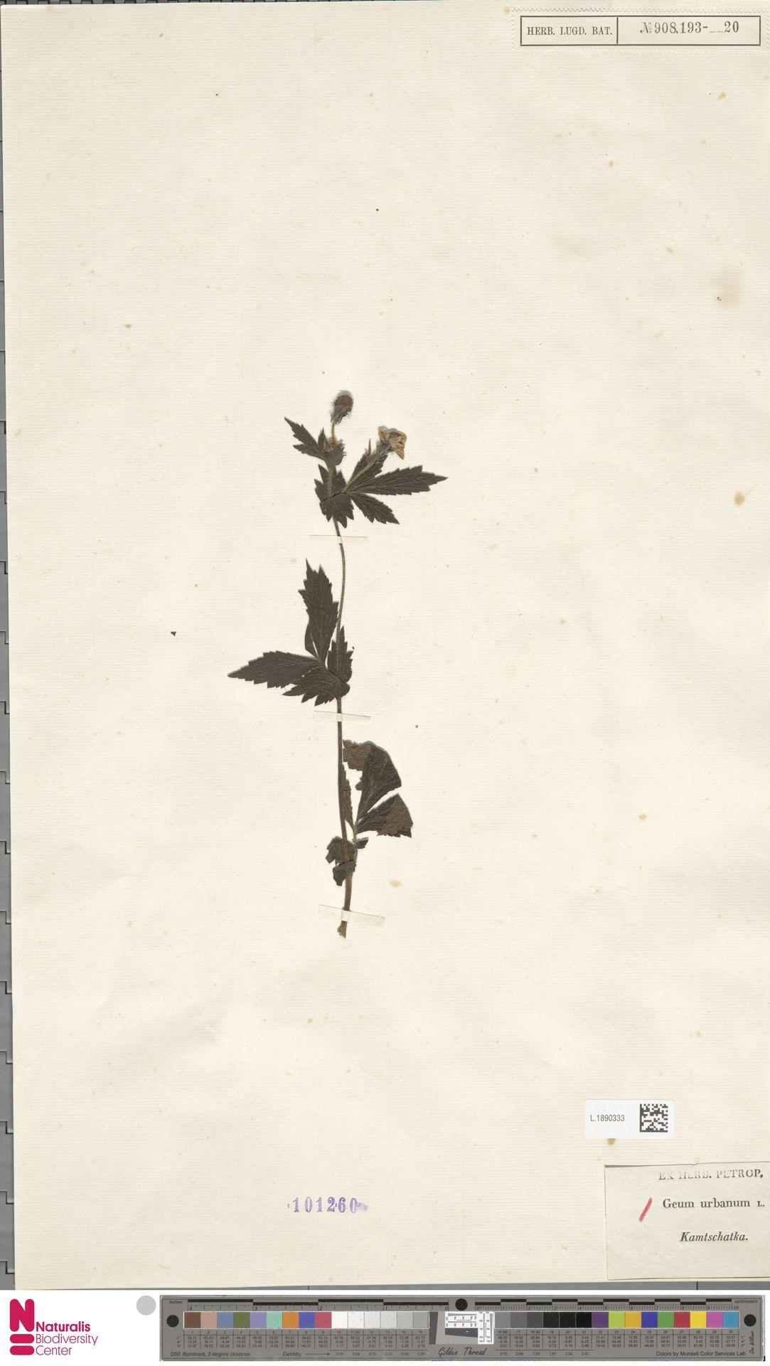 L.1890333 | Geum urbanum L.