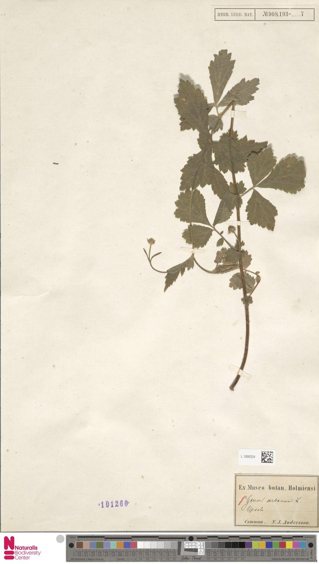 L.1890334 | Geum urbanum L.