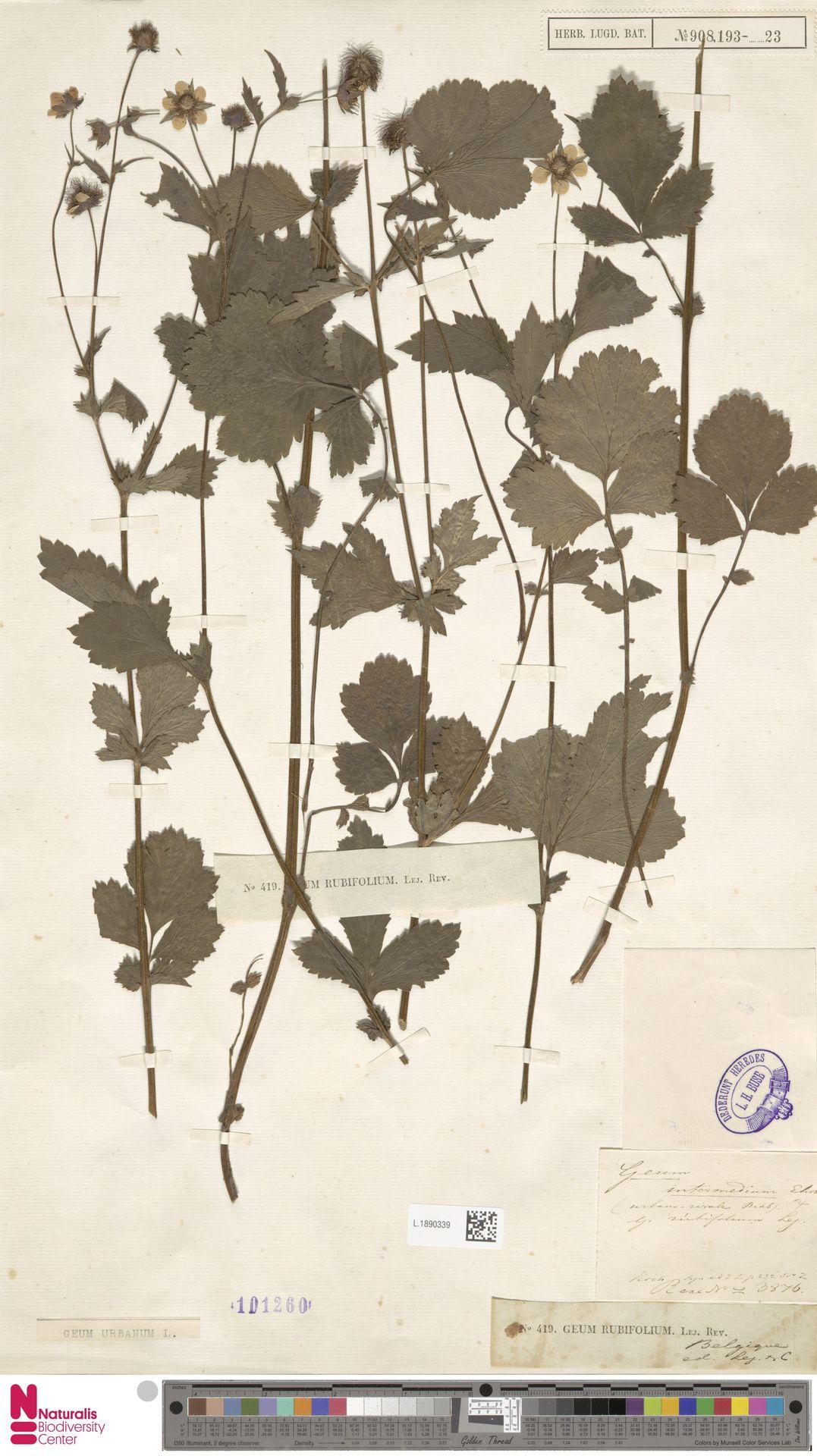 L.1890339 | Geum urbanum L.