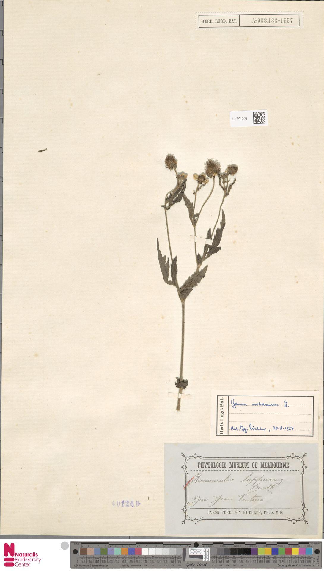 L.1891206 | Geum urbanum L.