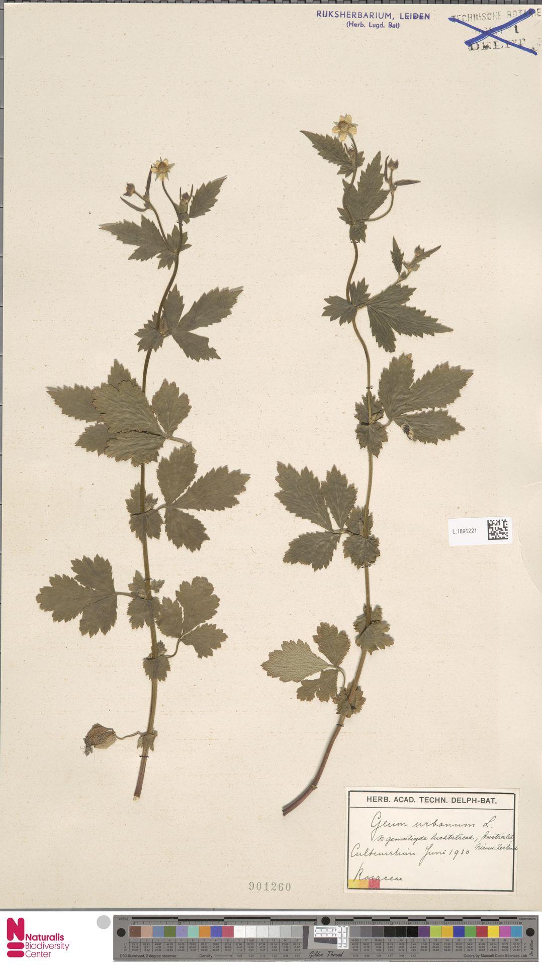 L.1891221 | Geum urbanum L.