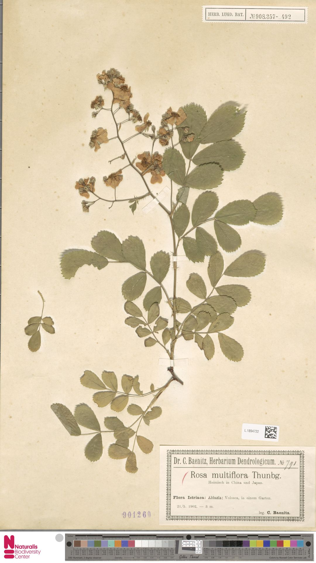 L.1894722   Rosa multiflora Thunb.
