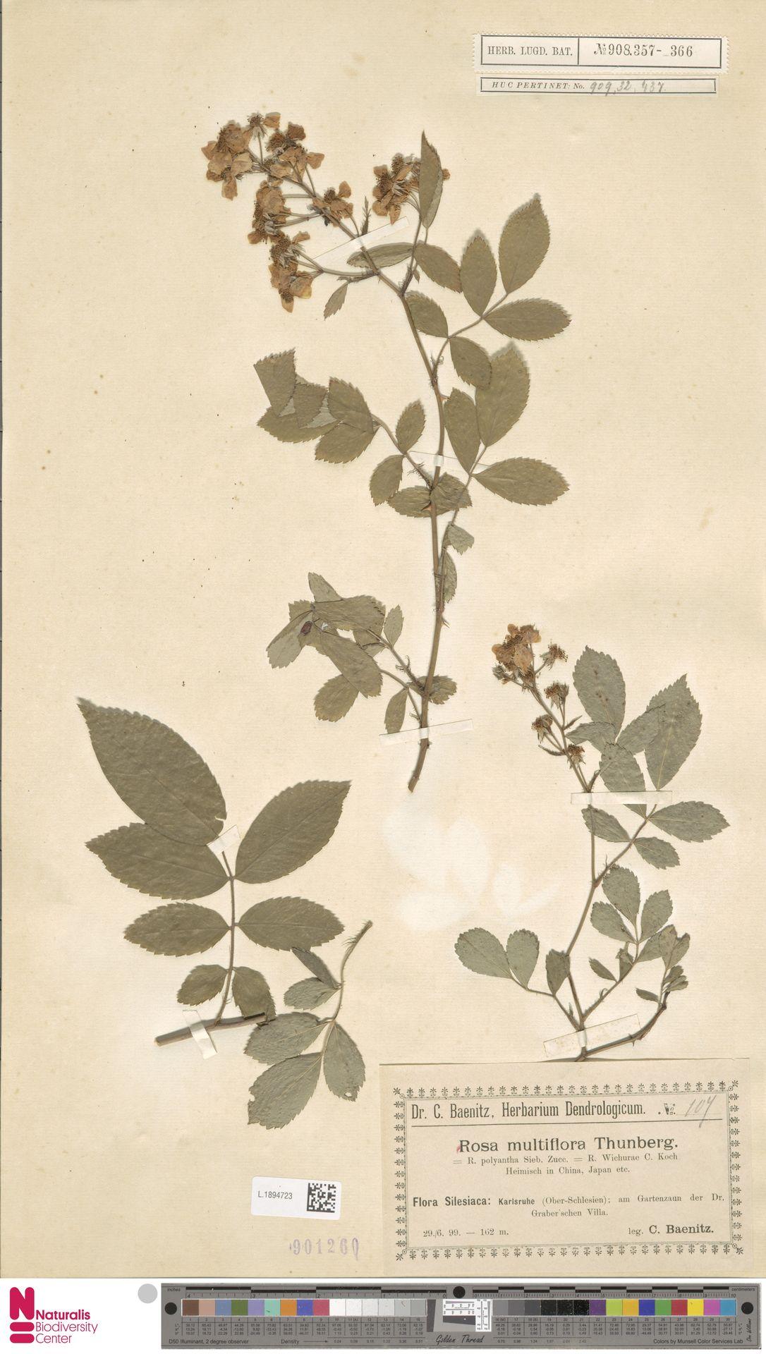 L.1894723   Rosa multiflora Thunb.