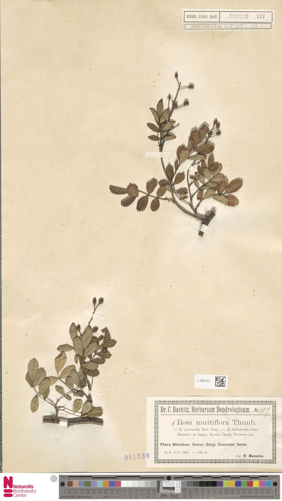 L.1894724 | Rosa multiflora Thunb.