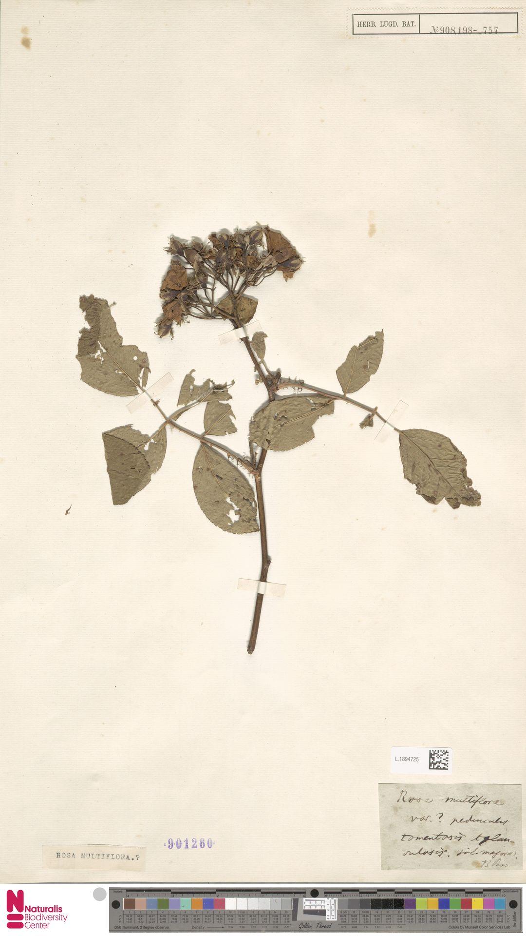 L.1894725 | Rosa multiflora Thunb.