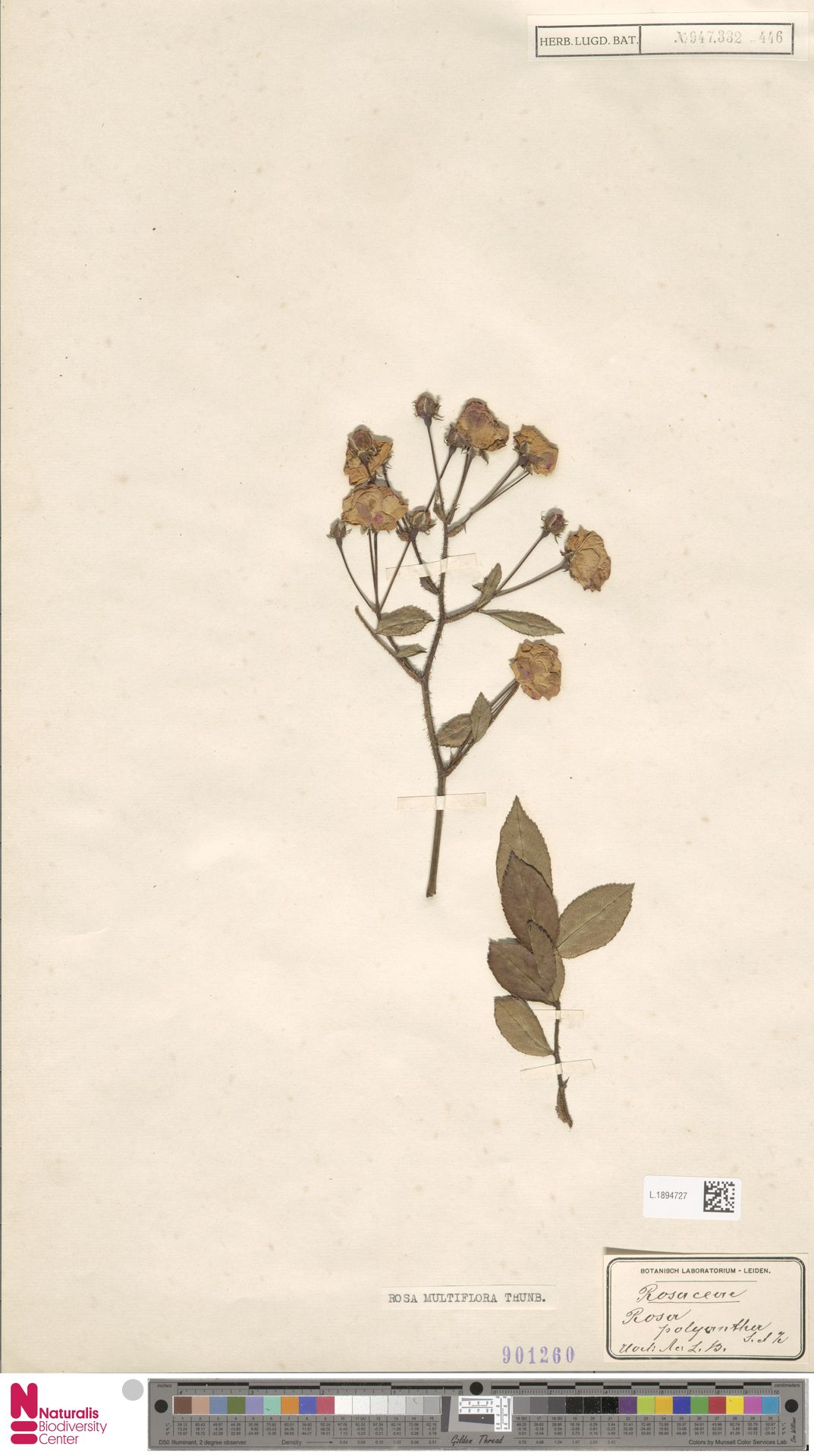 L.1894727 | Rosa multiflora Thunb.