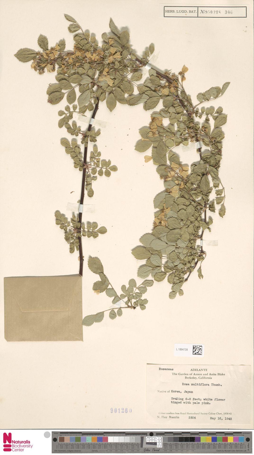 L.1894728 | Rosa multiflora Thunb.