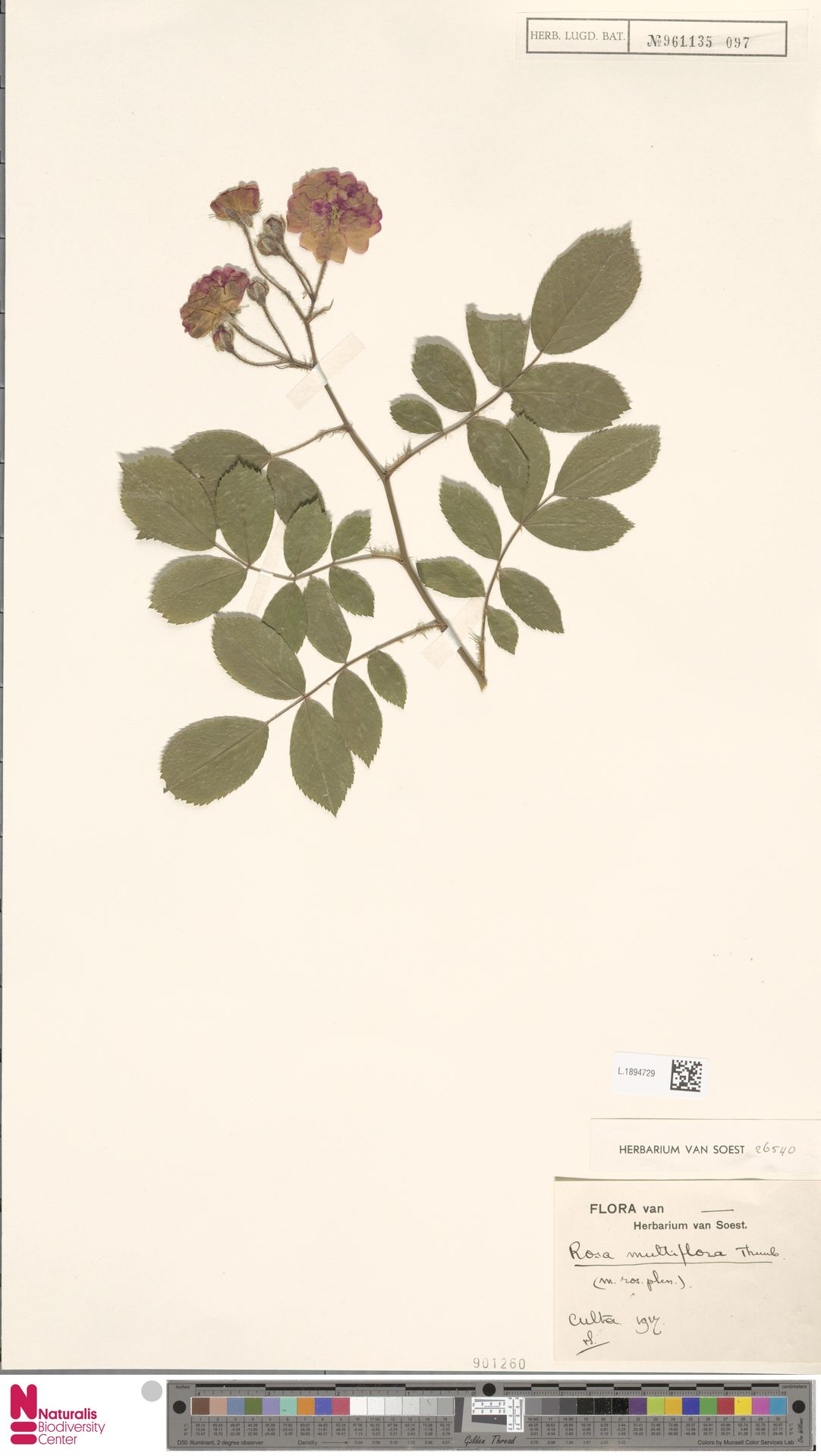 L.1894729 | Rosa multiflora Thunb.