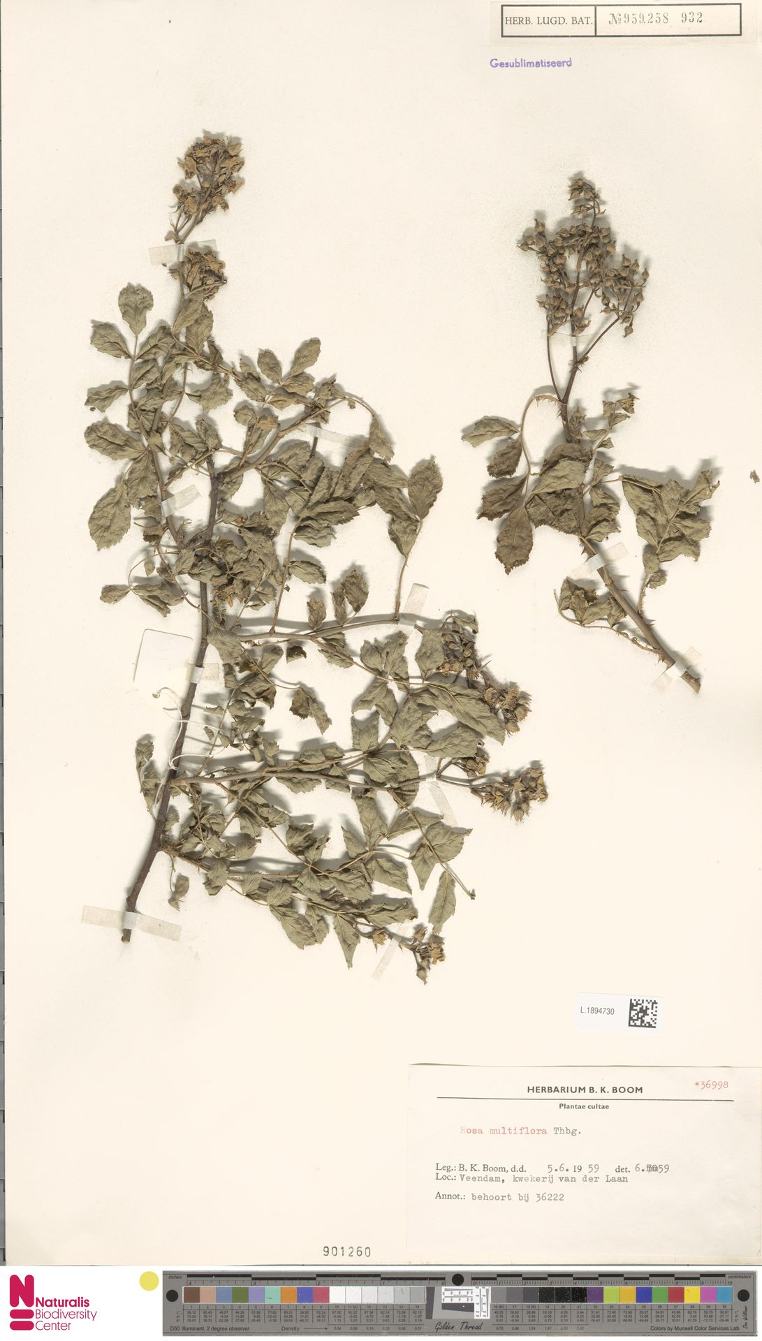 L.1894730 | Rosa multiflora Thunb.