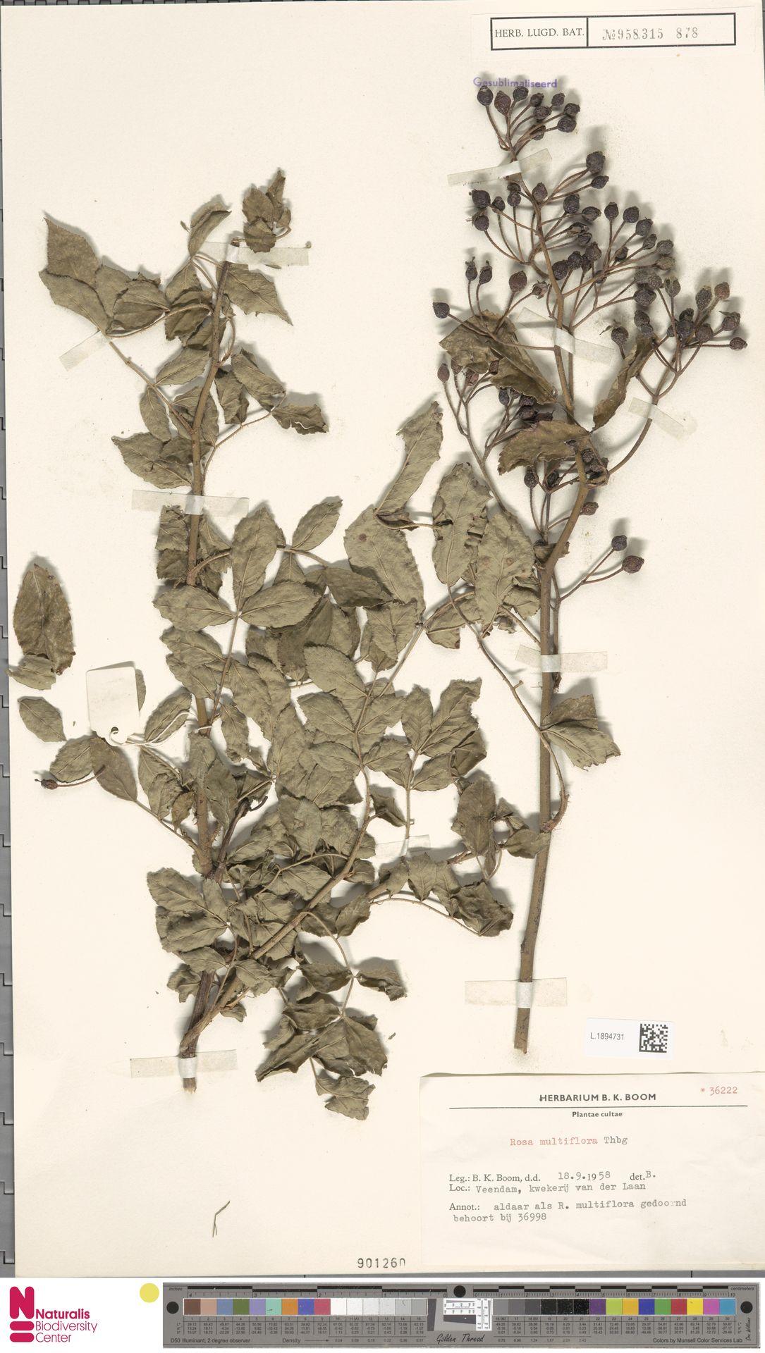 L.1894731   Rosa multiflora Thunb.