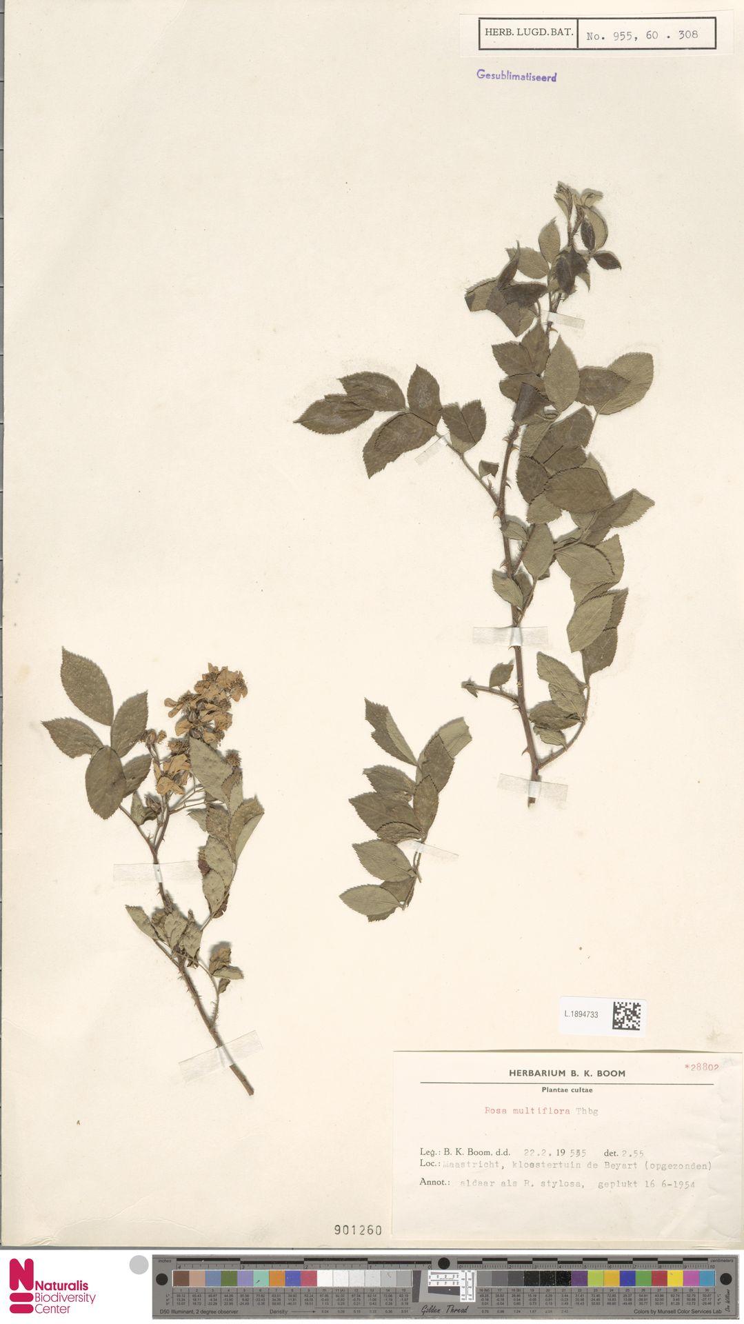 L.1894733 | Rosa multiflora Thunb.
