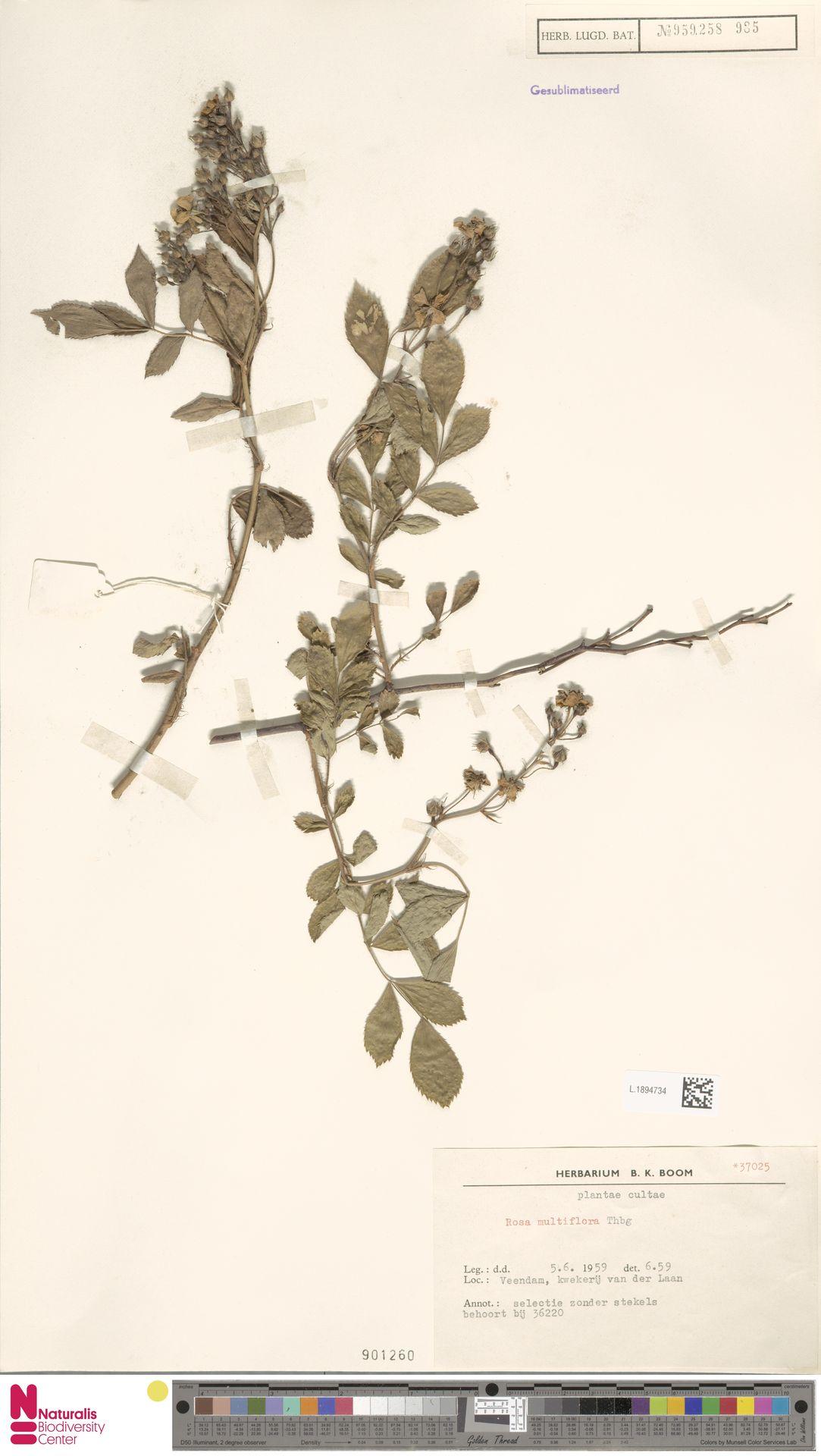 L.1894734 | Rosa multiflora Thunb.