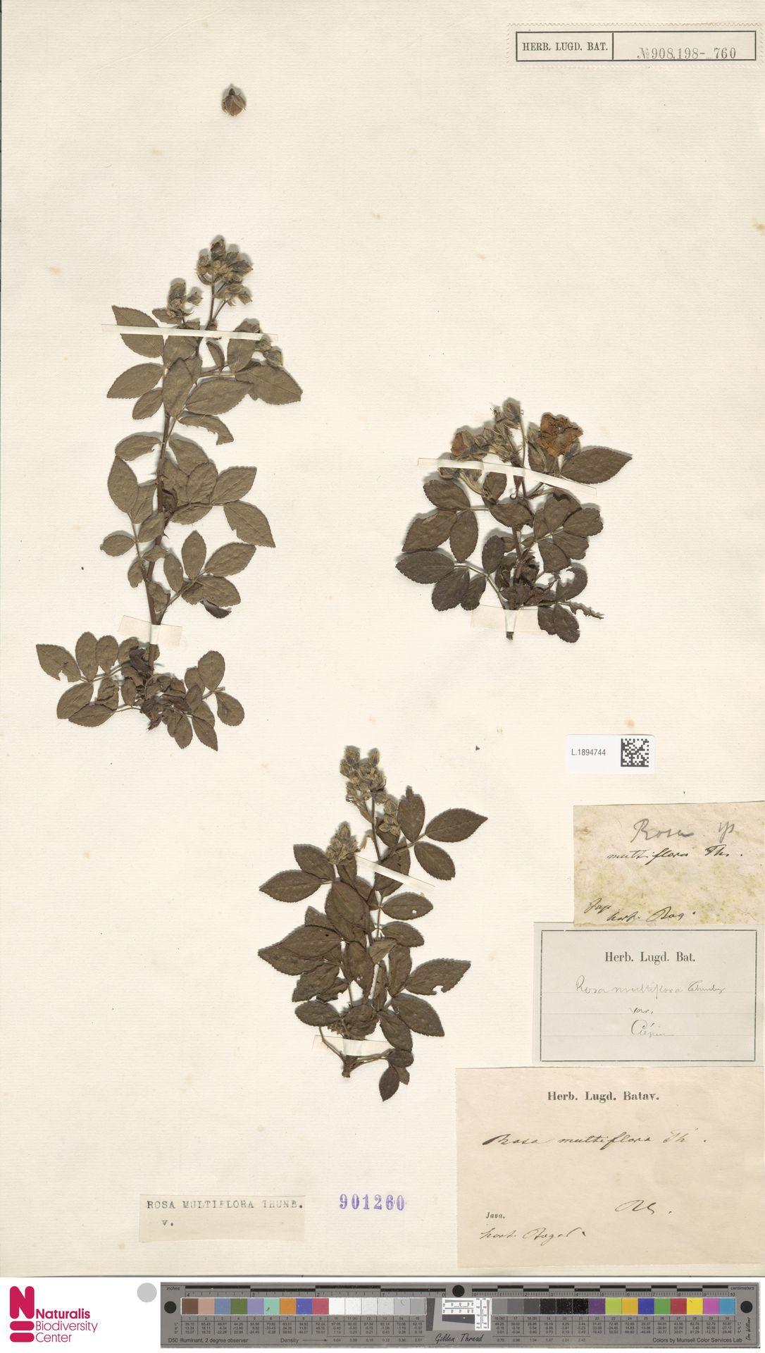 L.1894744   Rosa multiflora Thunb.