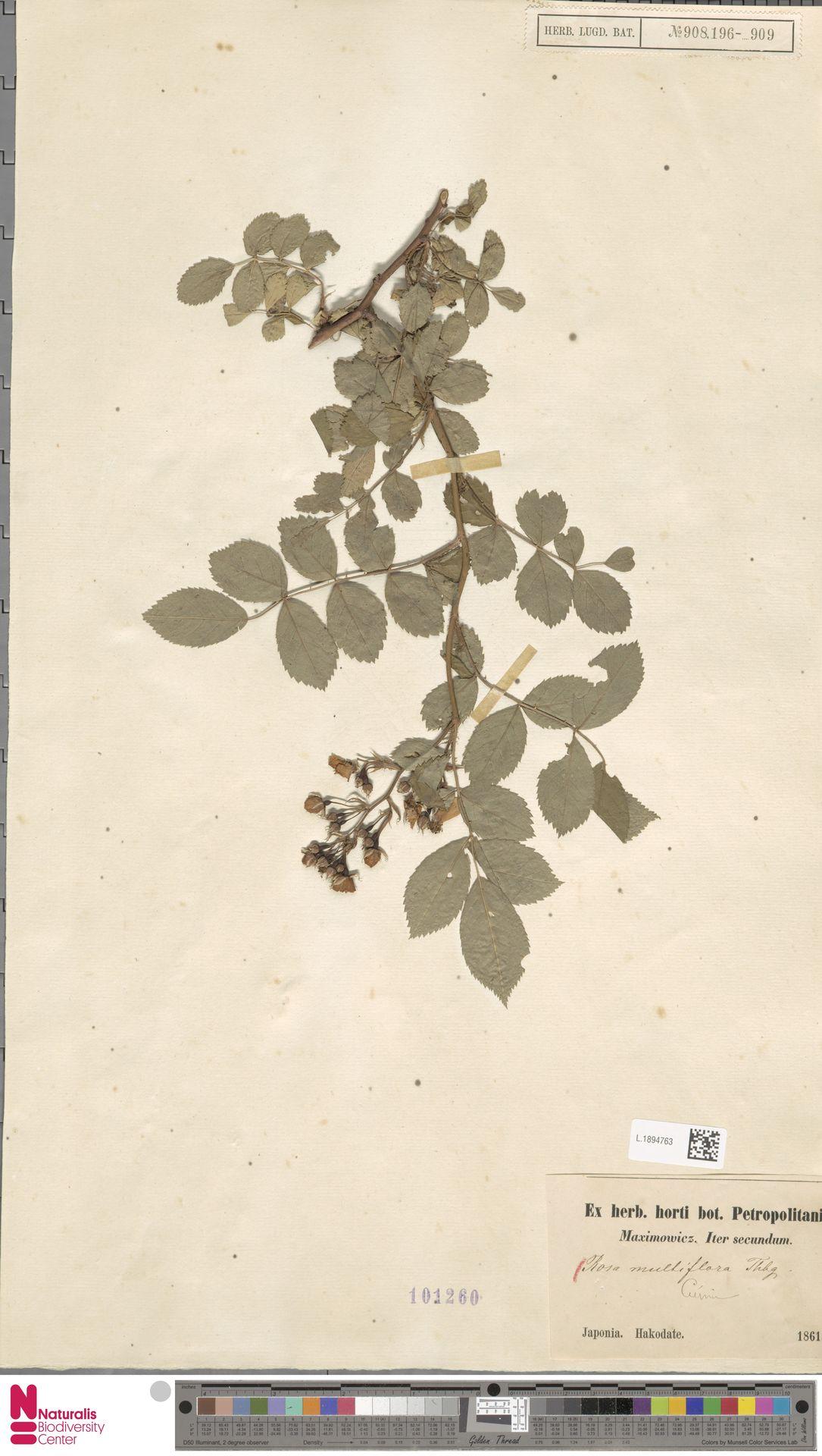 L.1894763 | Rosa multiflora Thunb.