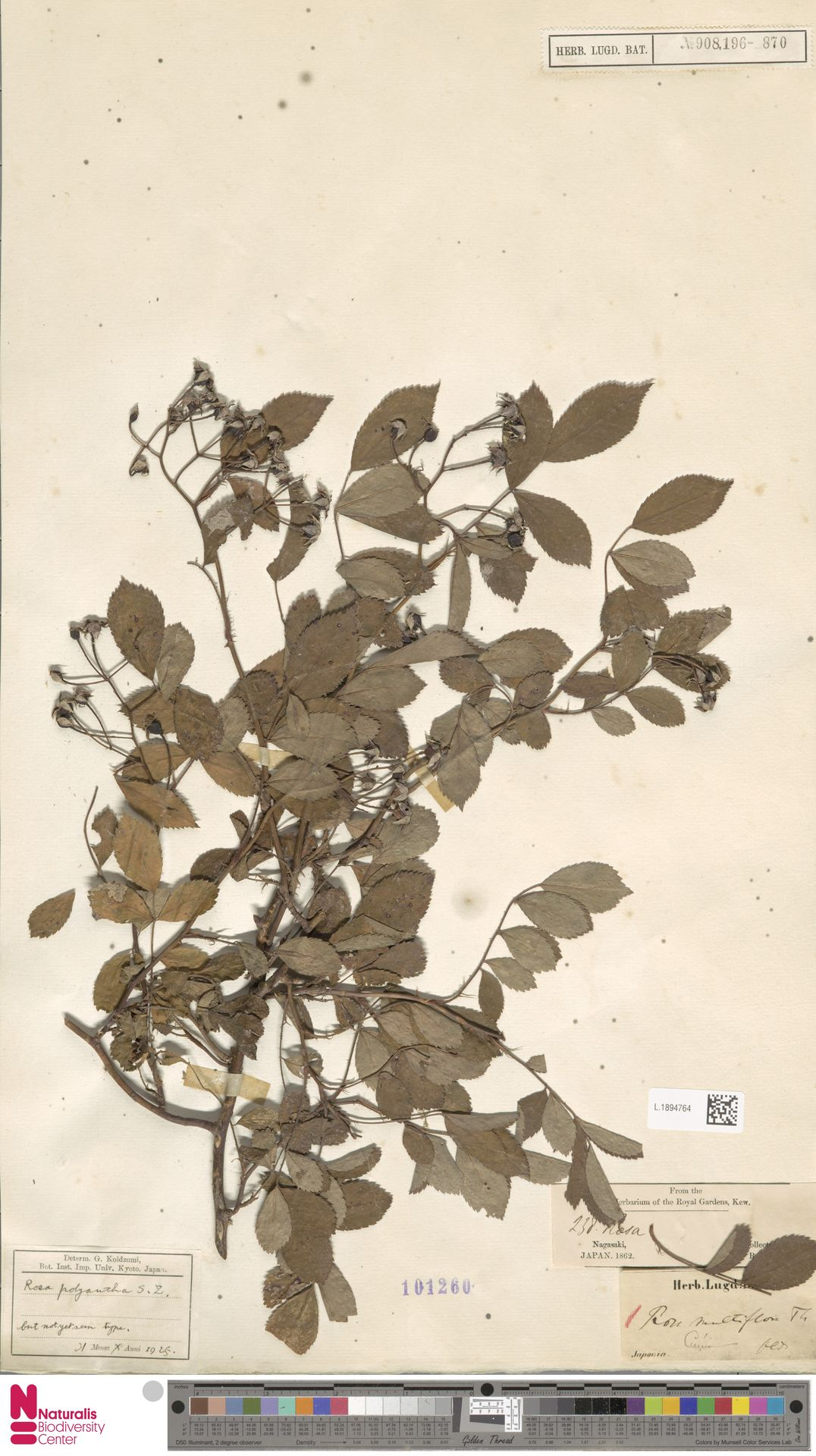 L.1894764 | Rosa multiflora Thunb.