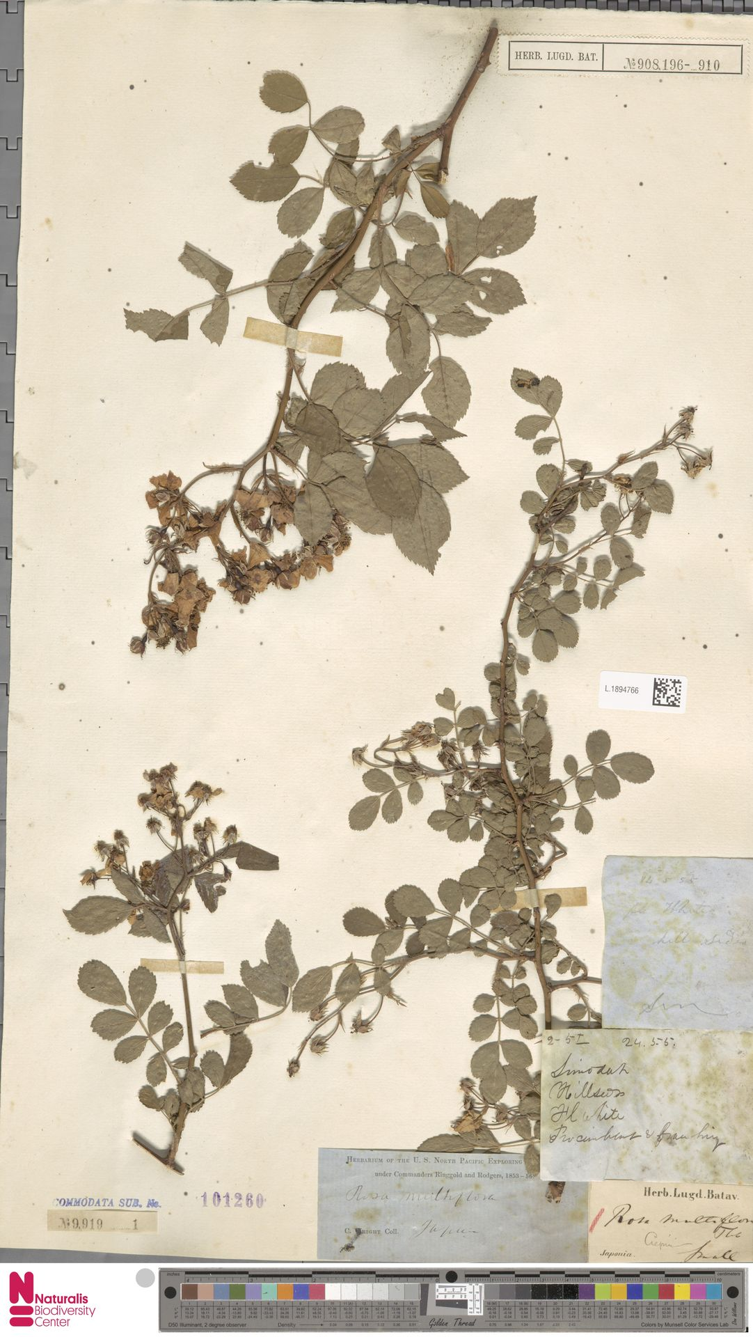 L.1894766 | Rosa multiflora Thunb.