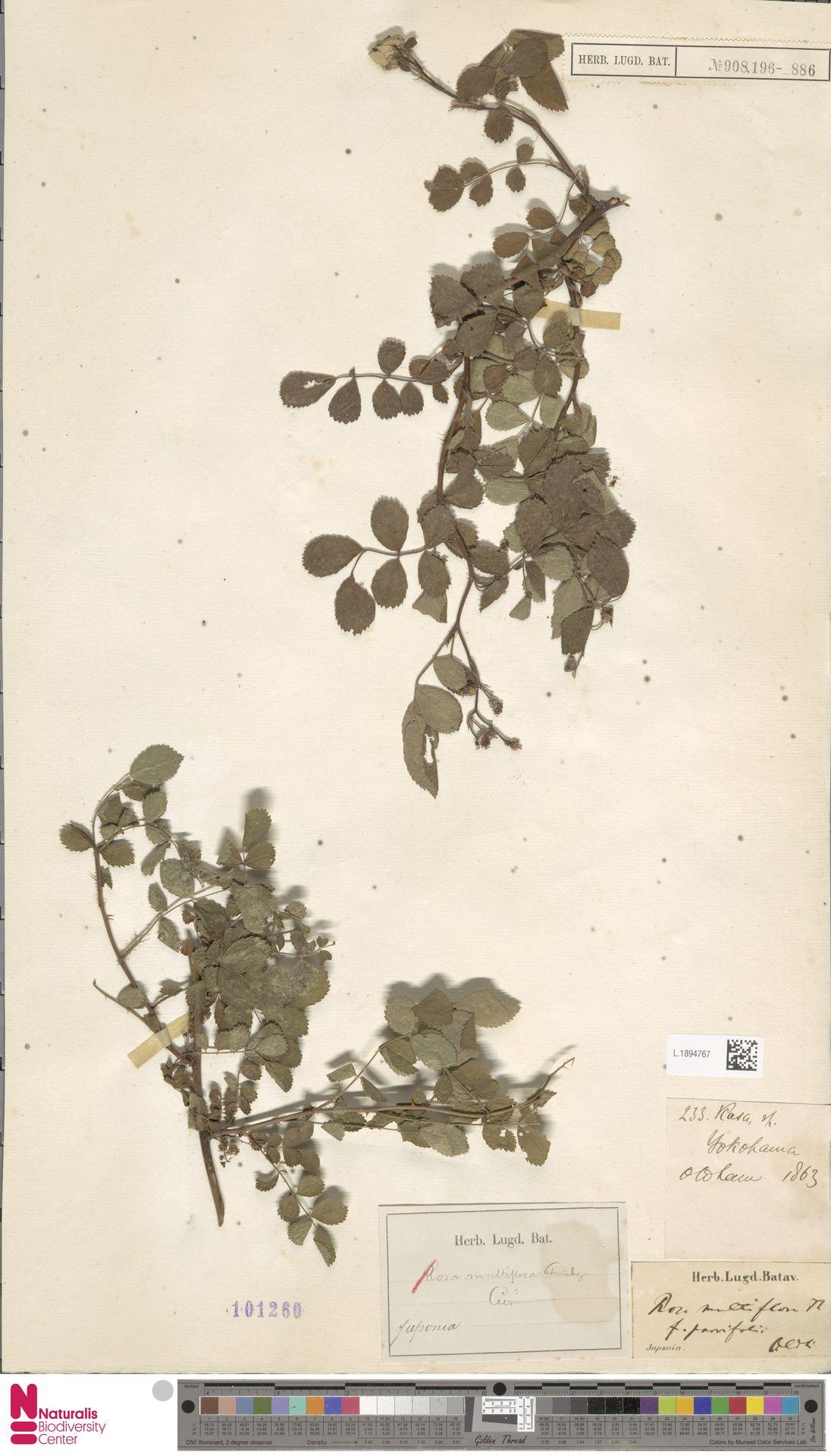 L.1894767 | Rosa multiflora Thunb.