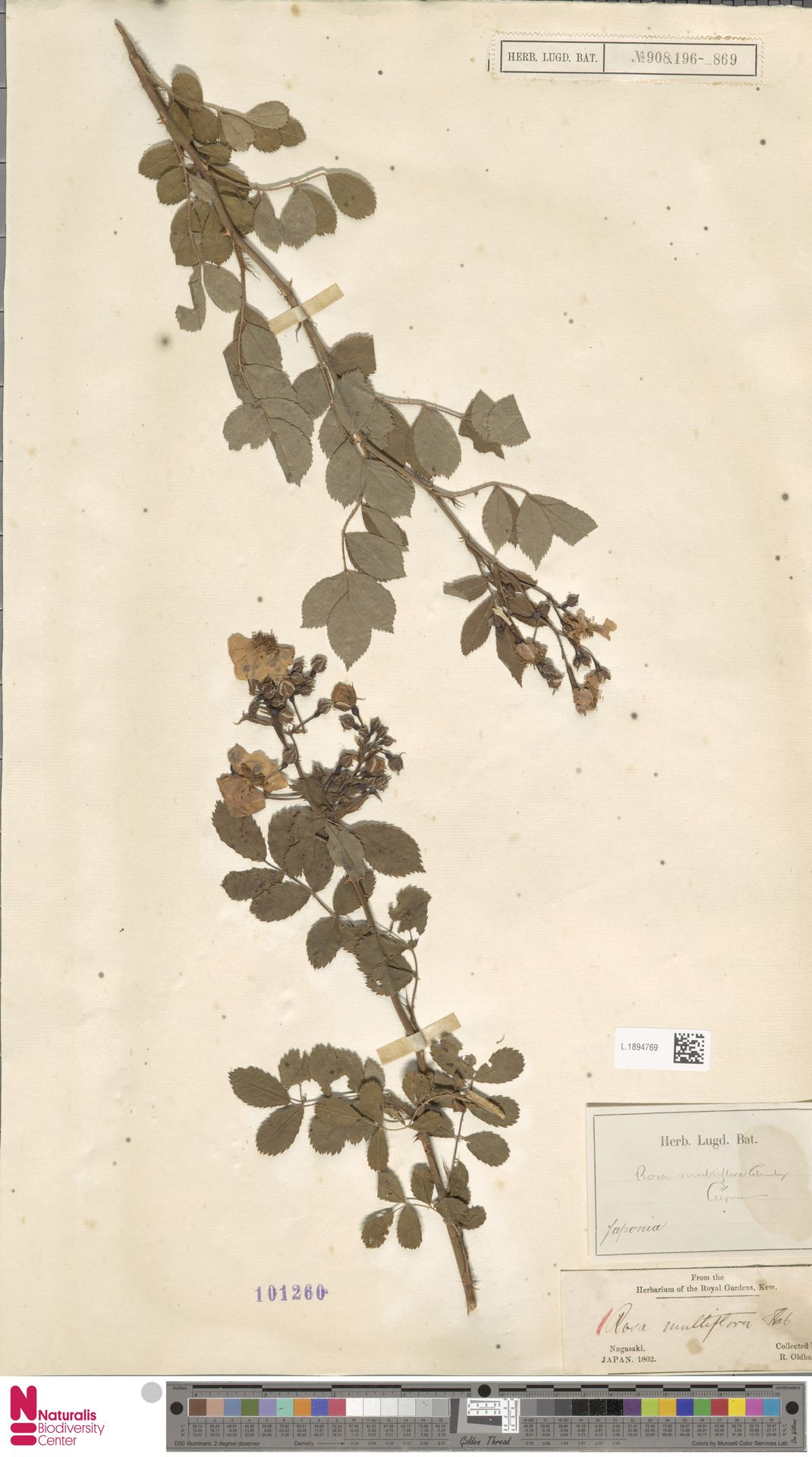 L.1894769 | Rosa multiflora Thunb.