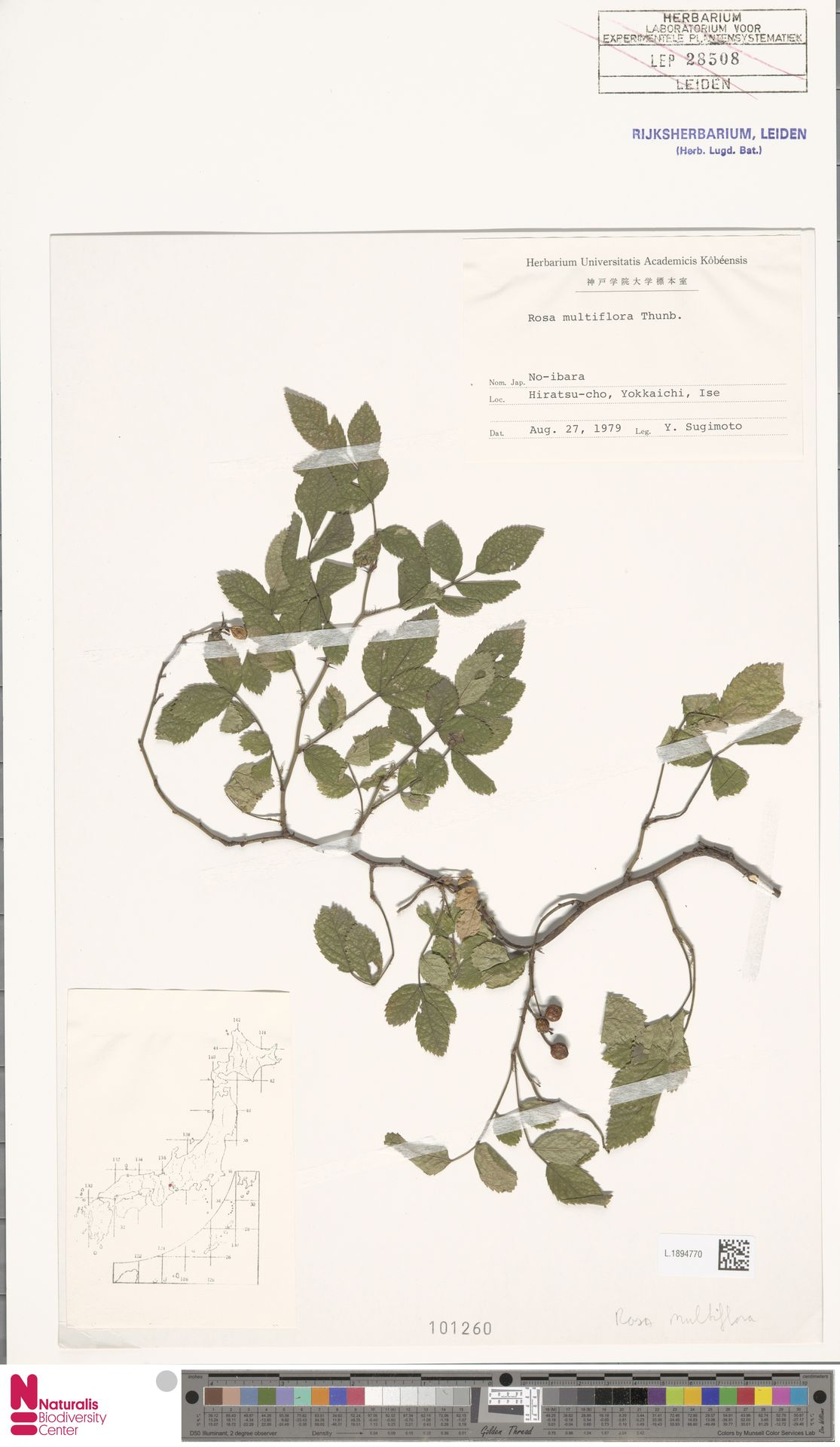 L.1894770 | Rosa multiflora Thunb.