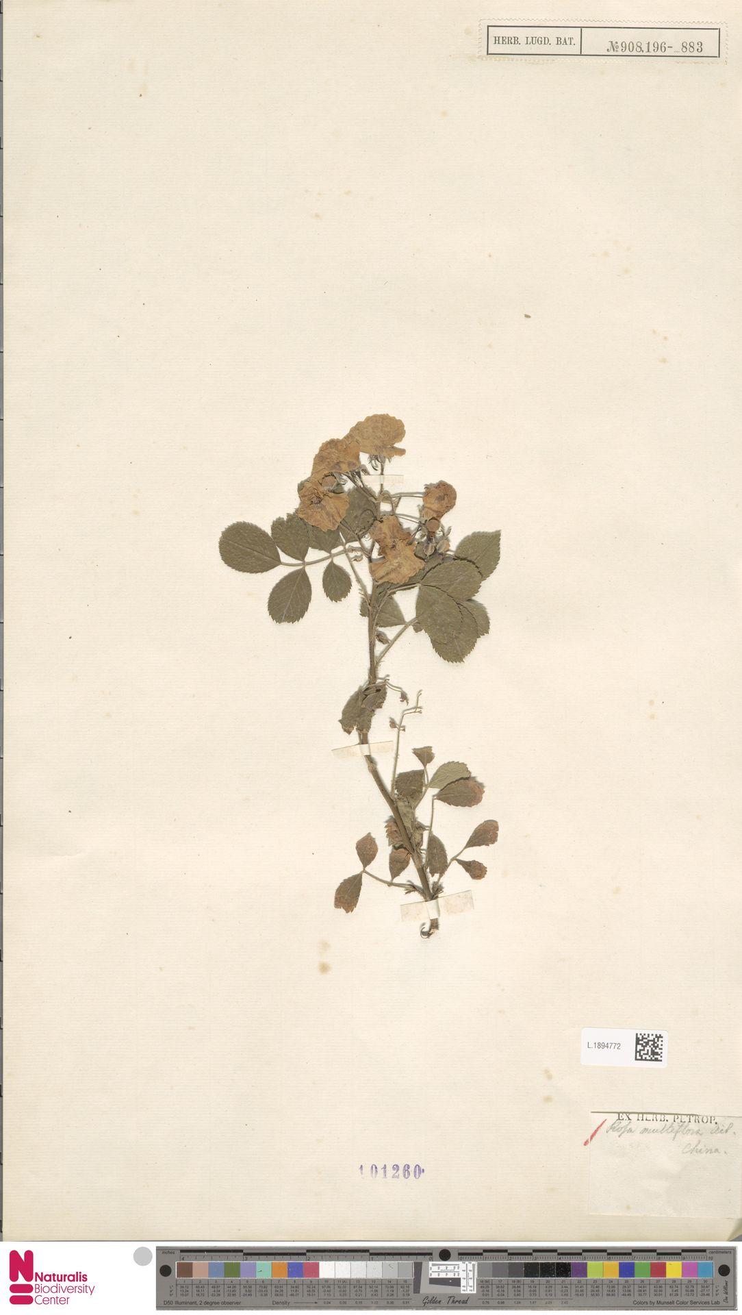 L.1894772 | Rosa multiflora Thunb.