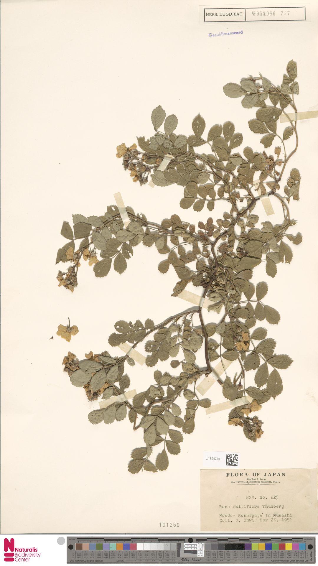 L.1894773 | Rosa multiflora Thunb.