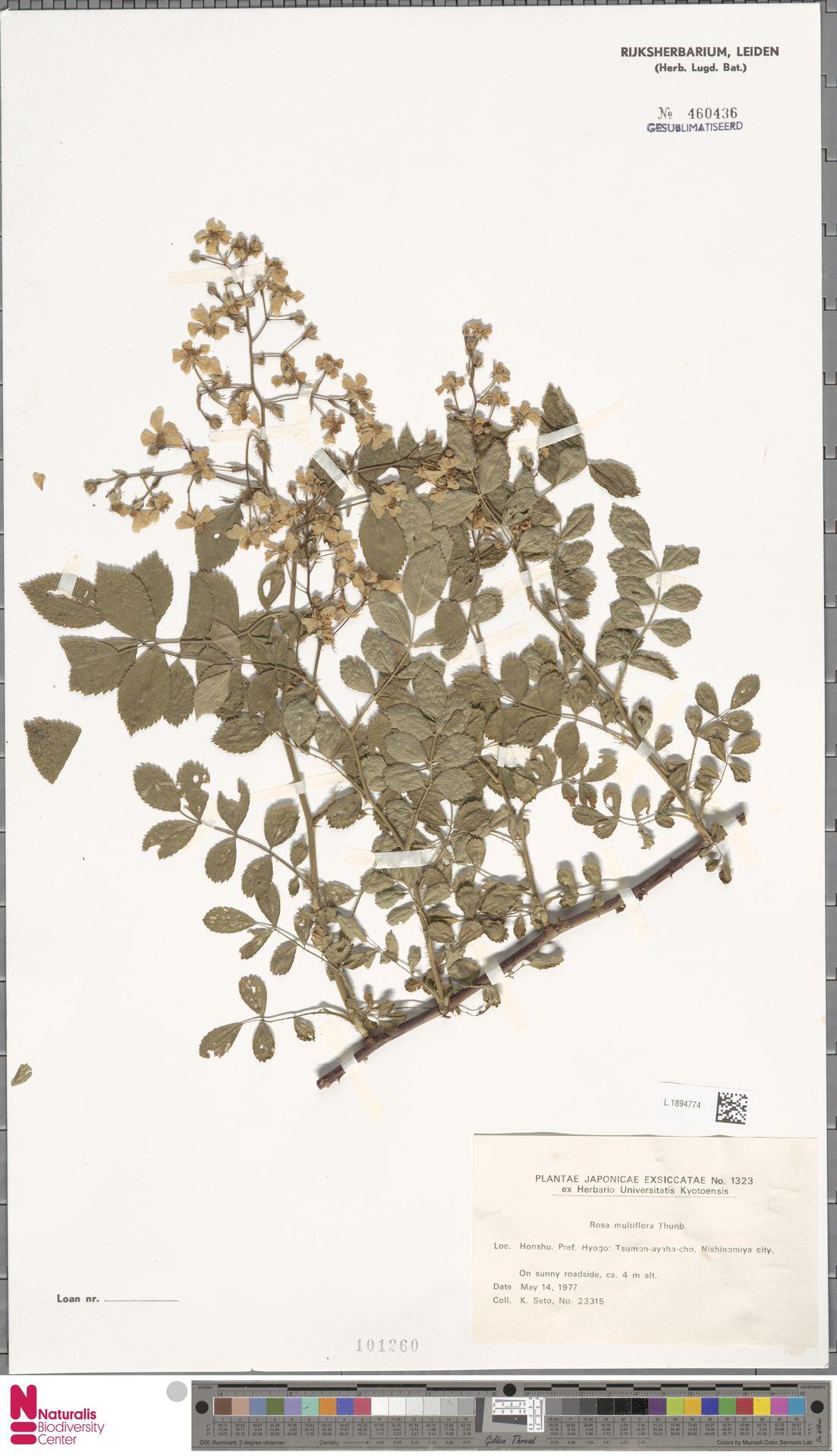 L.1894774 | Rosa multiflora Thunb.