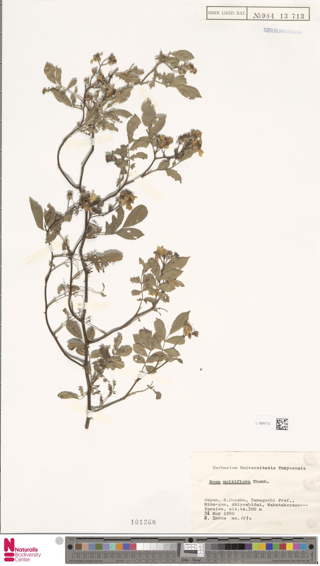 L.1894775 | Rosa multiflora Thunb.