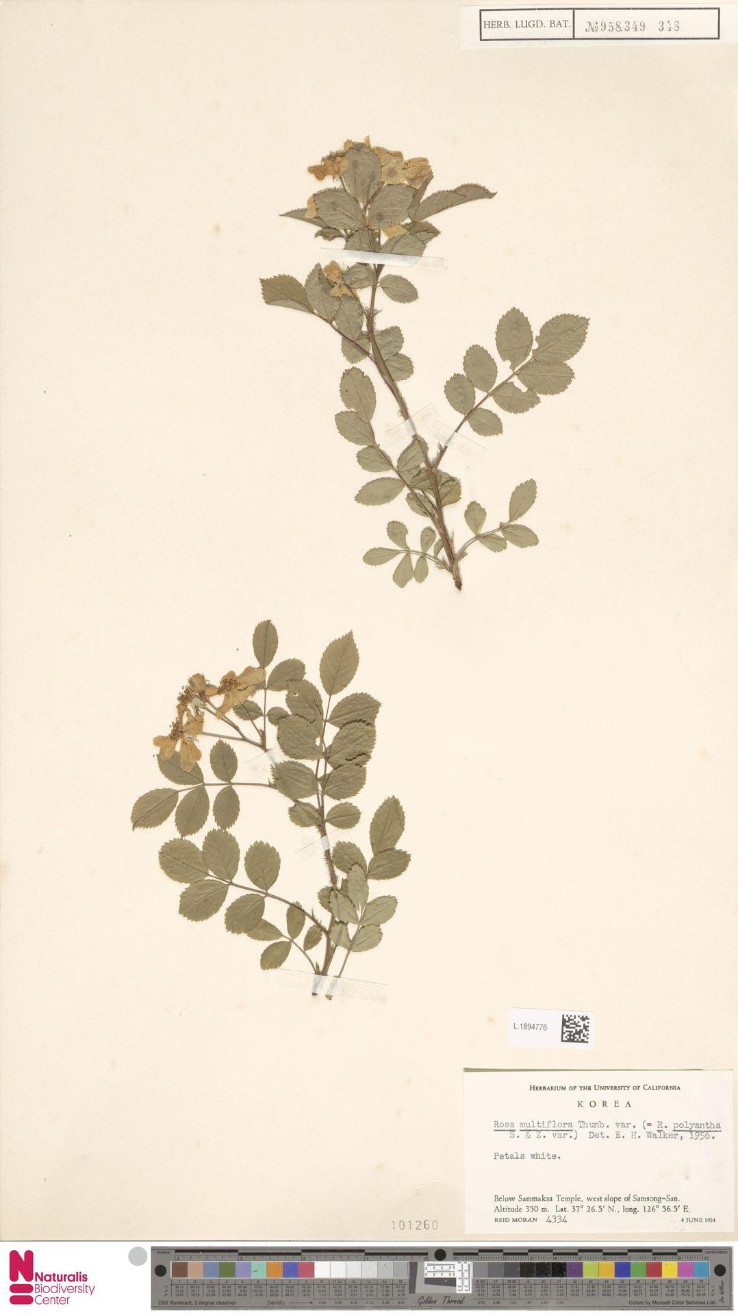 L.1894776 | Rosa multiflora Thunb.