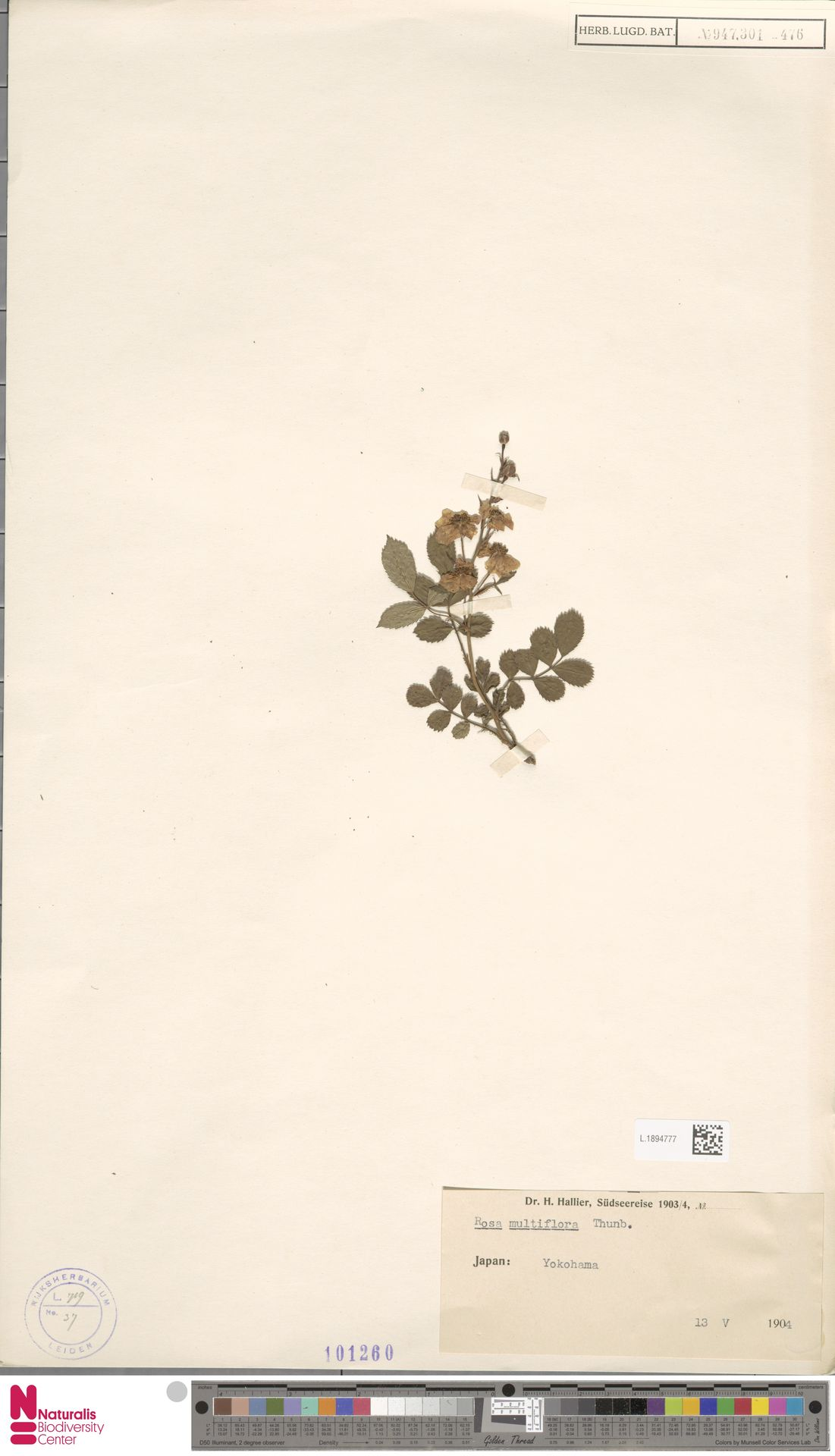L.1894777 | Rosa multiflora Thunb.