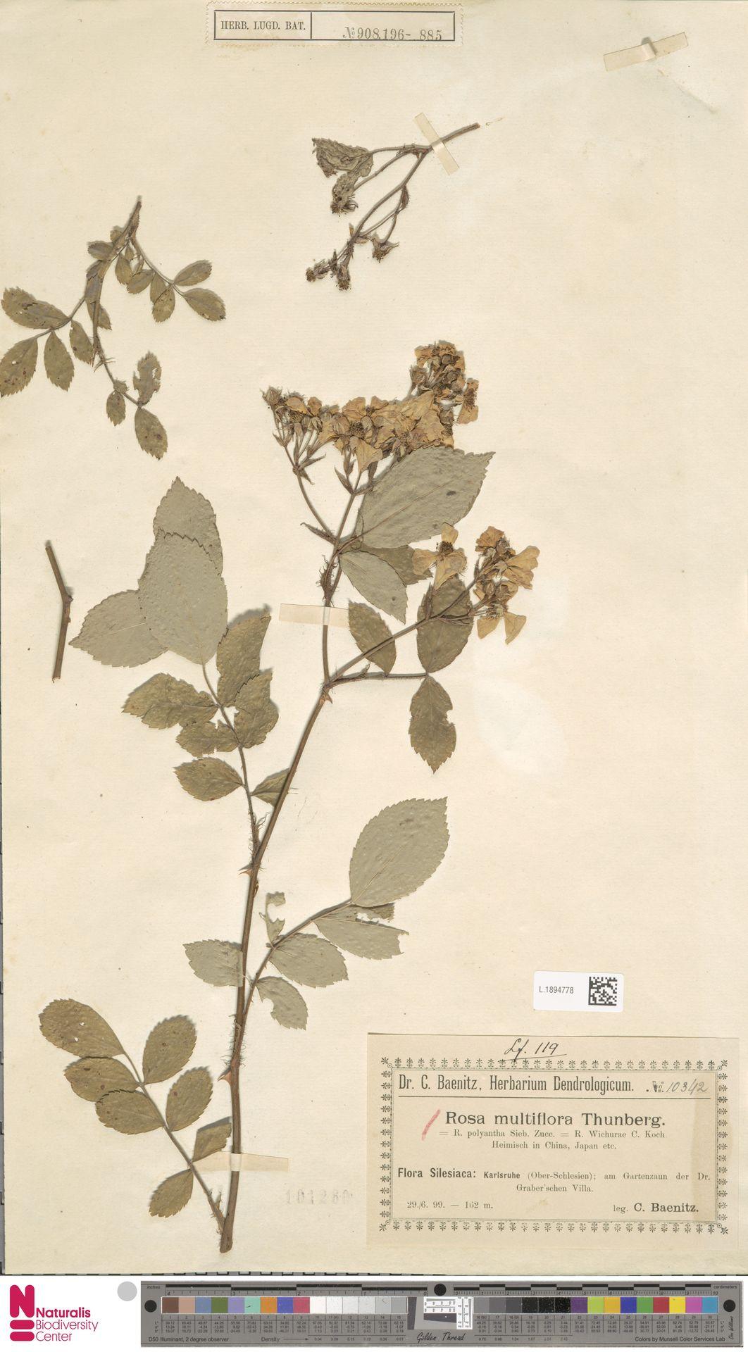 L.1894778 | Rosa multiflora Thunb.