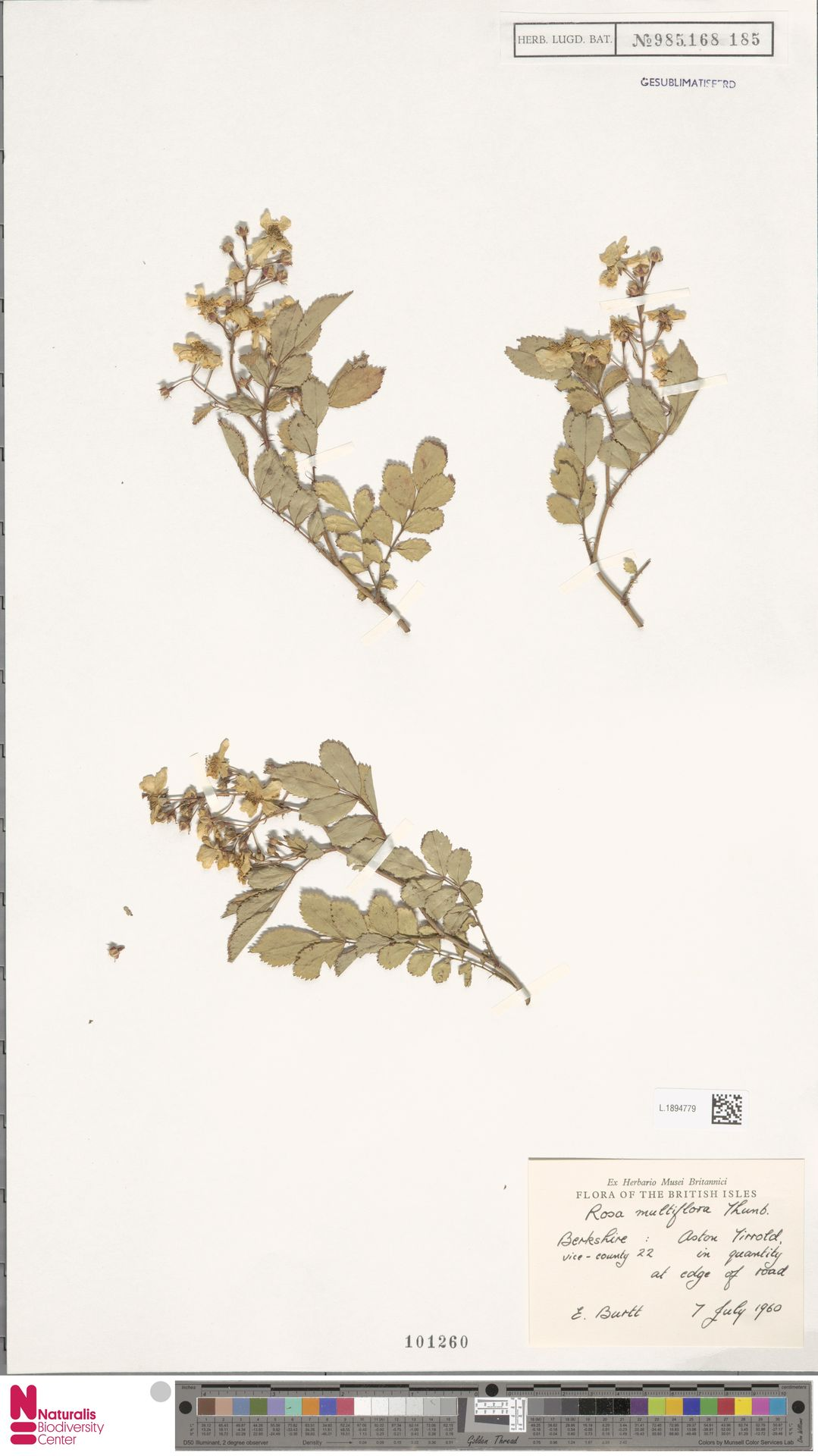 L.1894779 | Rosa multiflora Thunb.