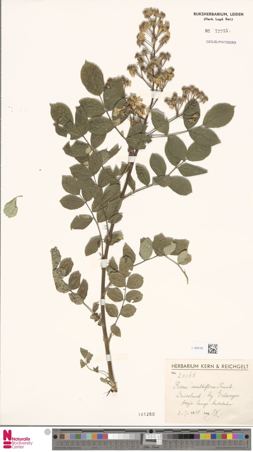 L.1894782 | Rosa multiflora Thunb.