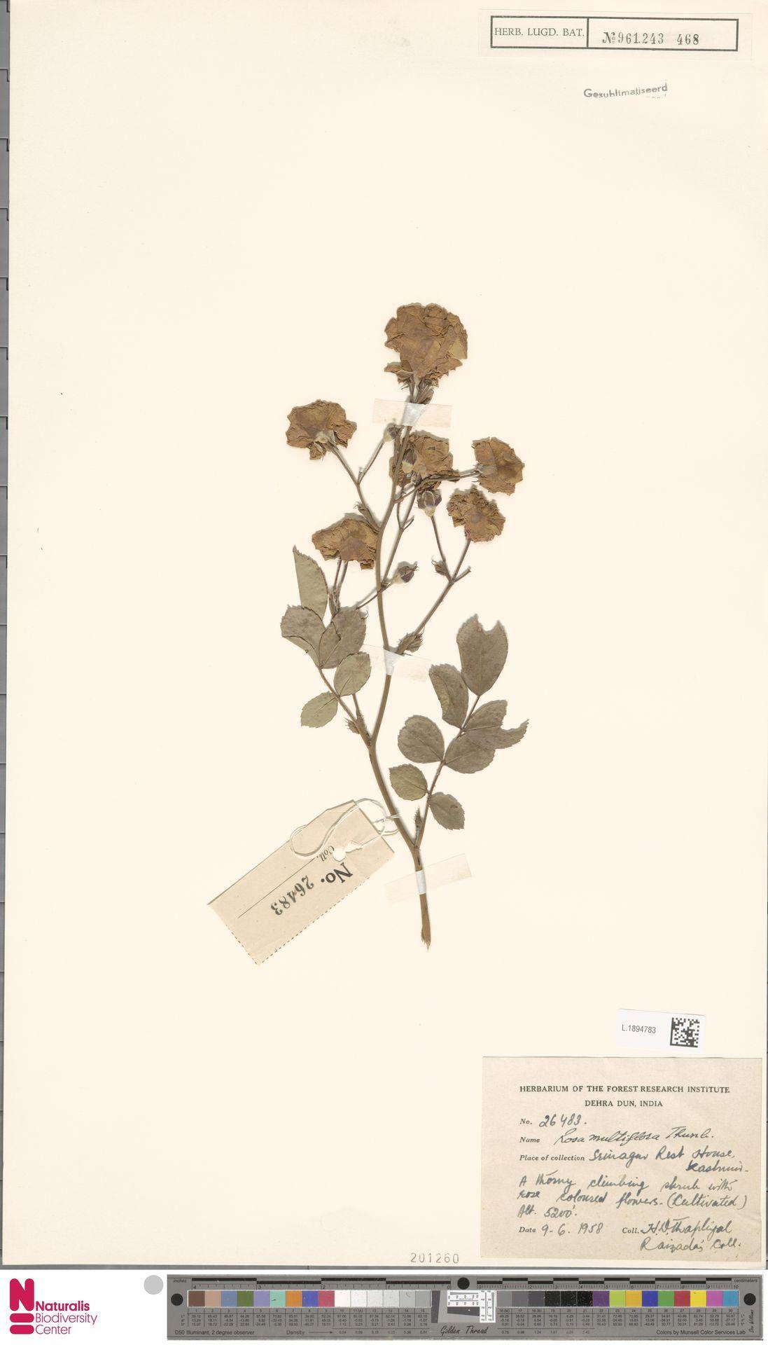 L.1894783 | Rosa multiflora Thunb.