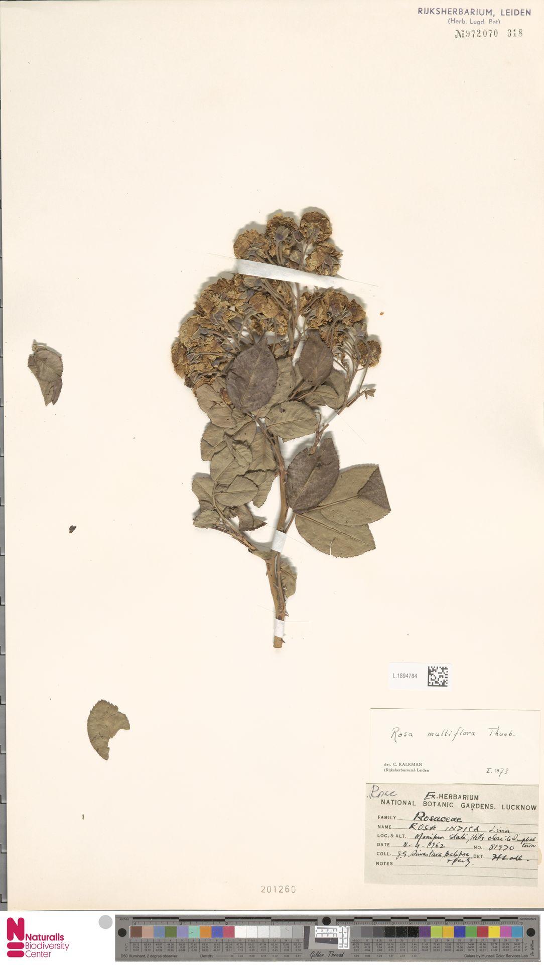 L.1894784 | Rosa multiflora Thunb.