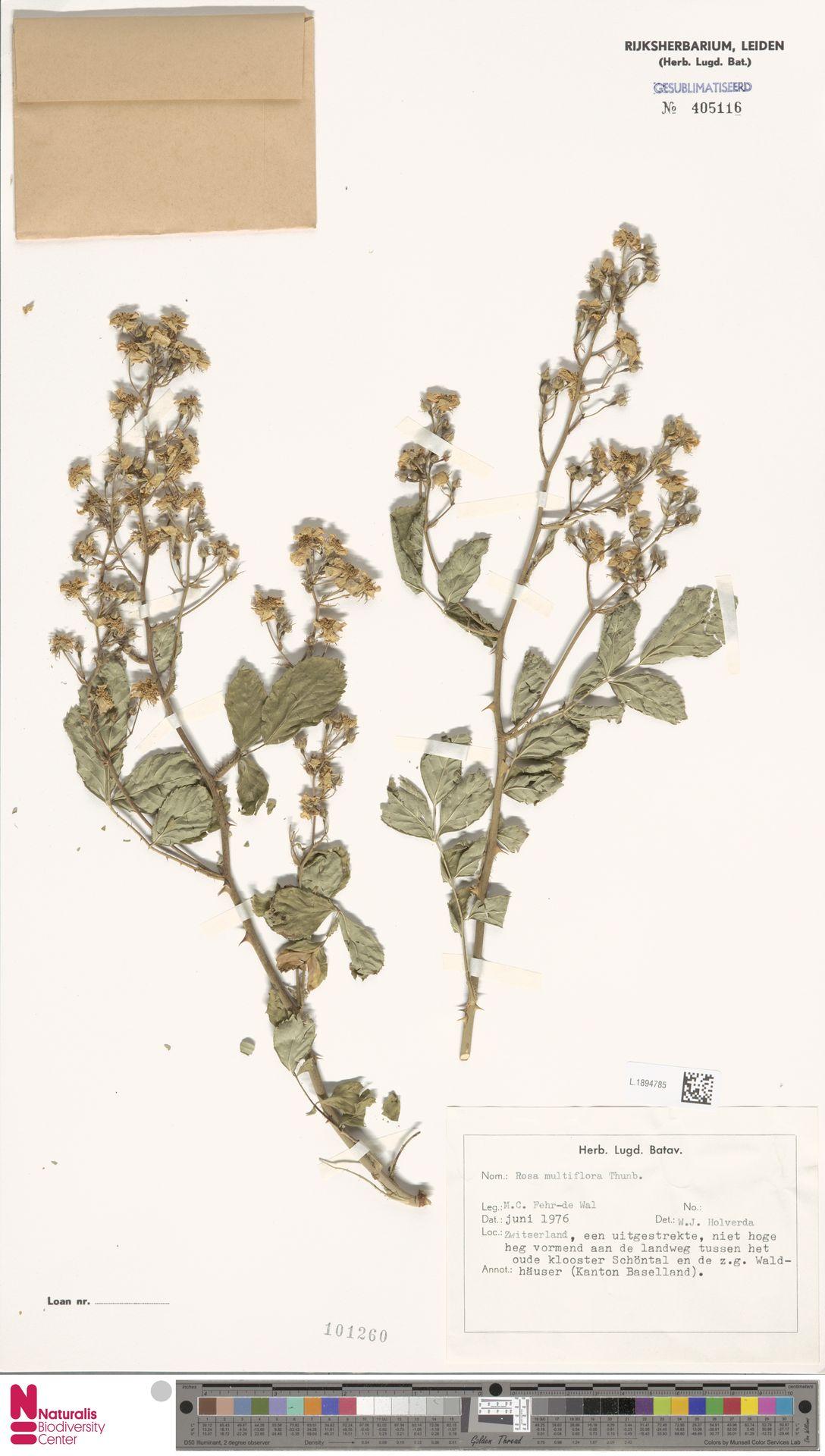 L.1894785 | Rosa multiflora Thunb.