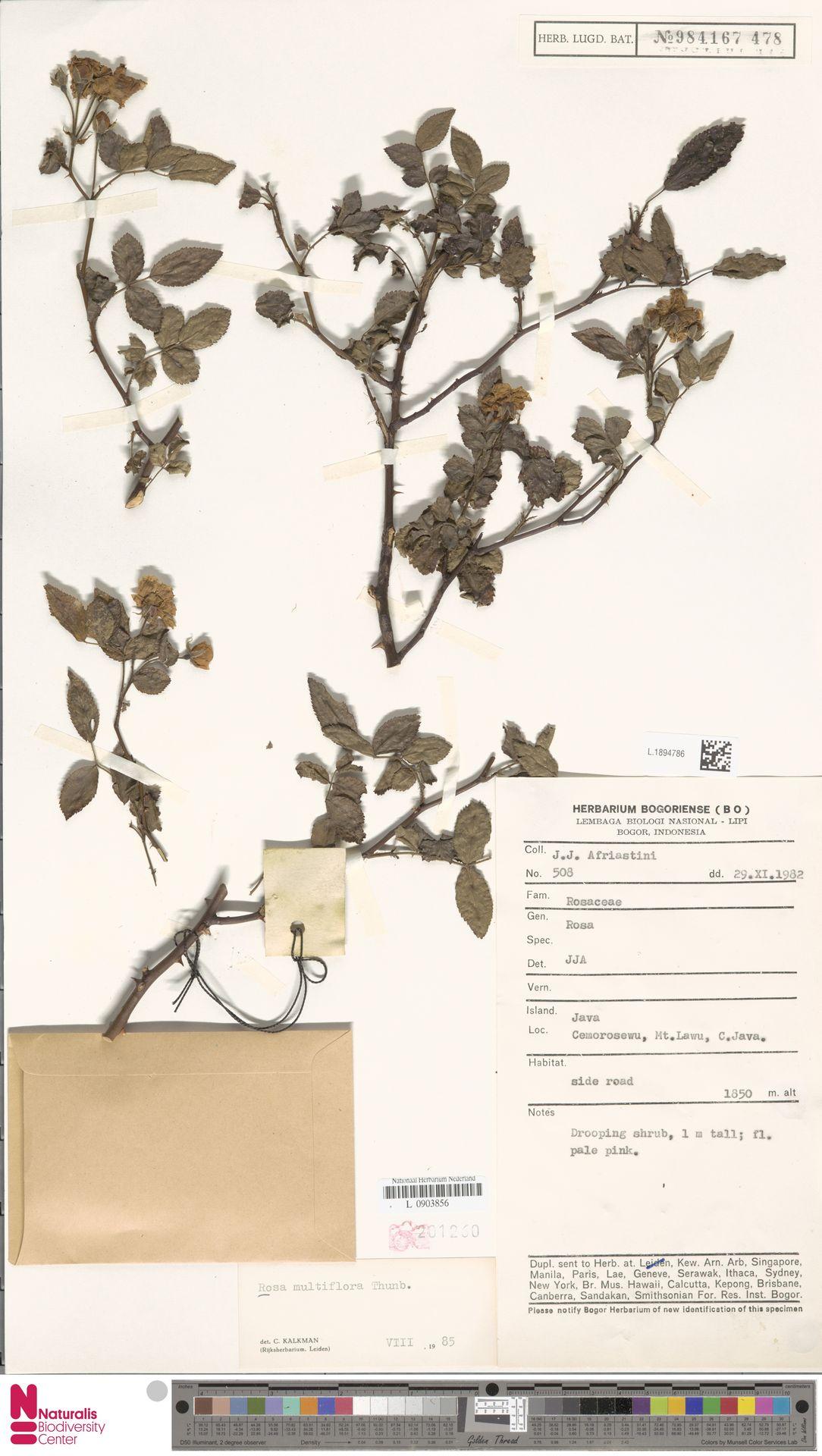 L.1894786 | Rosa multiflora Thunb.