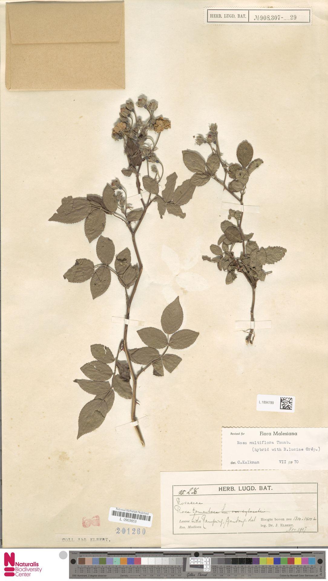 L.1894789 | Rosa multiflora Thunb.