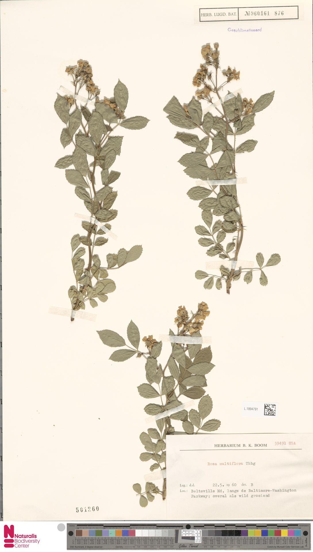 L.1894791 | Rosa multiflora Thunb.