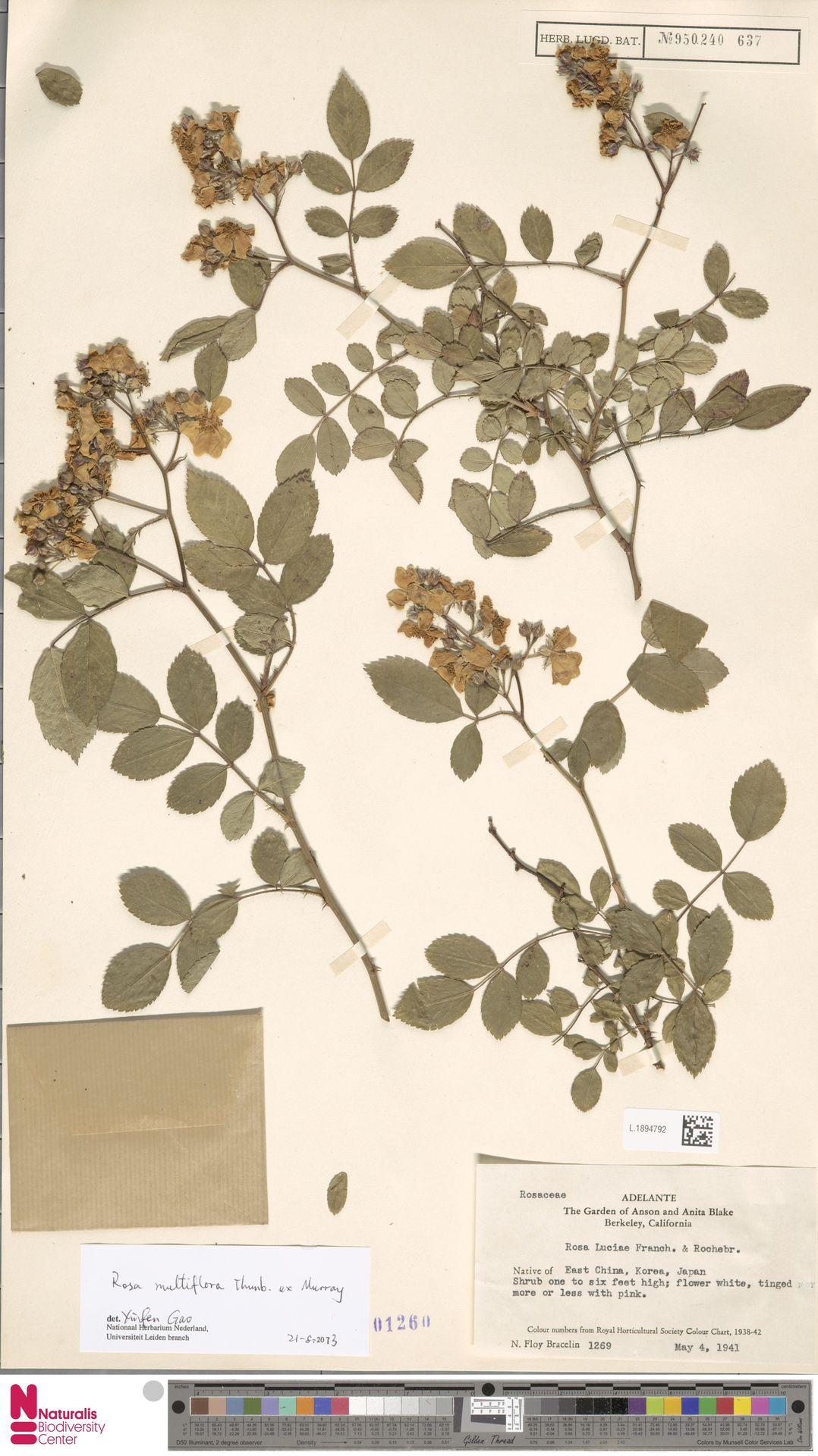 L.1894792 | Rosa multiflora Thunb.