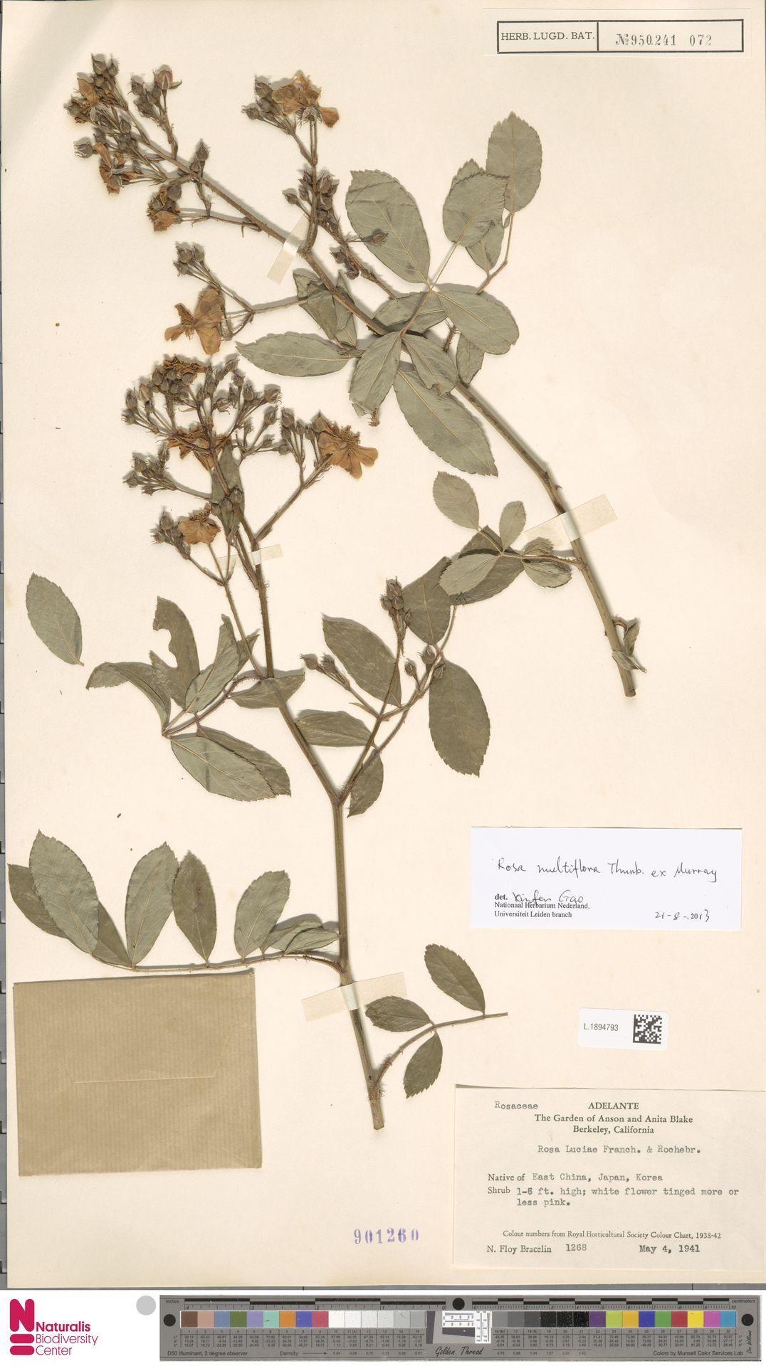 L.1894793 | Rosa multiflora Thunb.